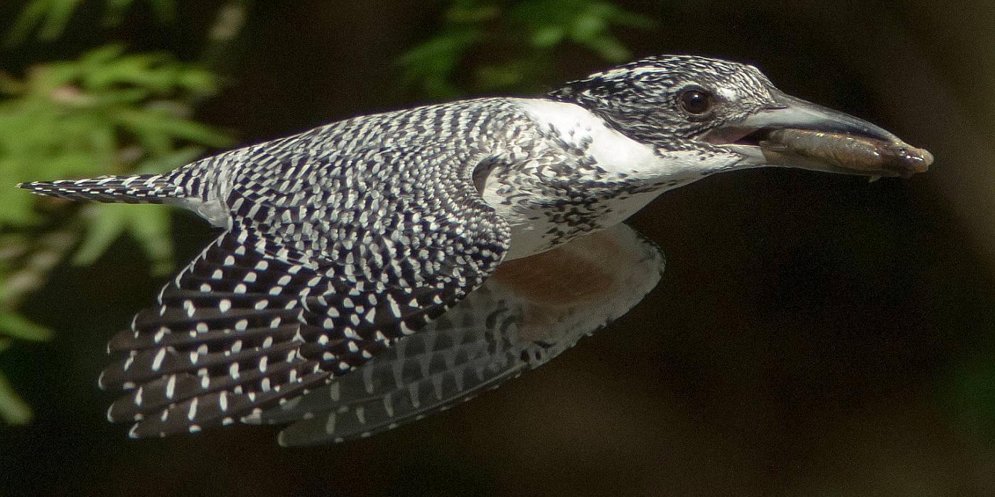 野鳥・カワセミ画像