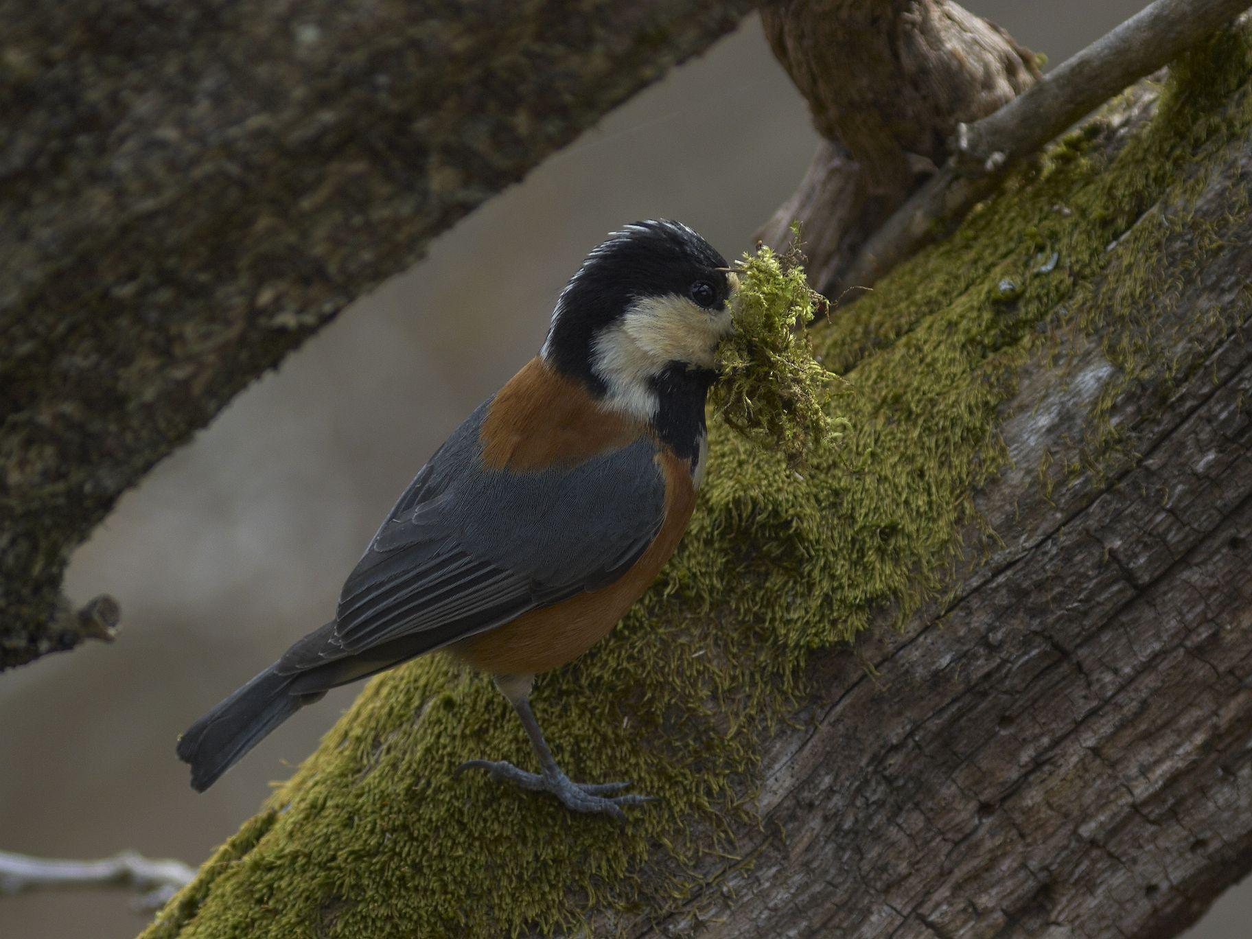 BORG 125SDで撮影した野鳥・ヤマガラの巣作りの写真画像