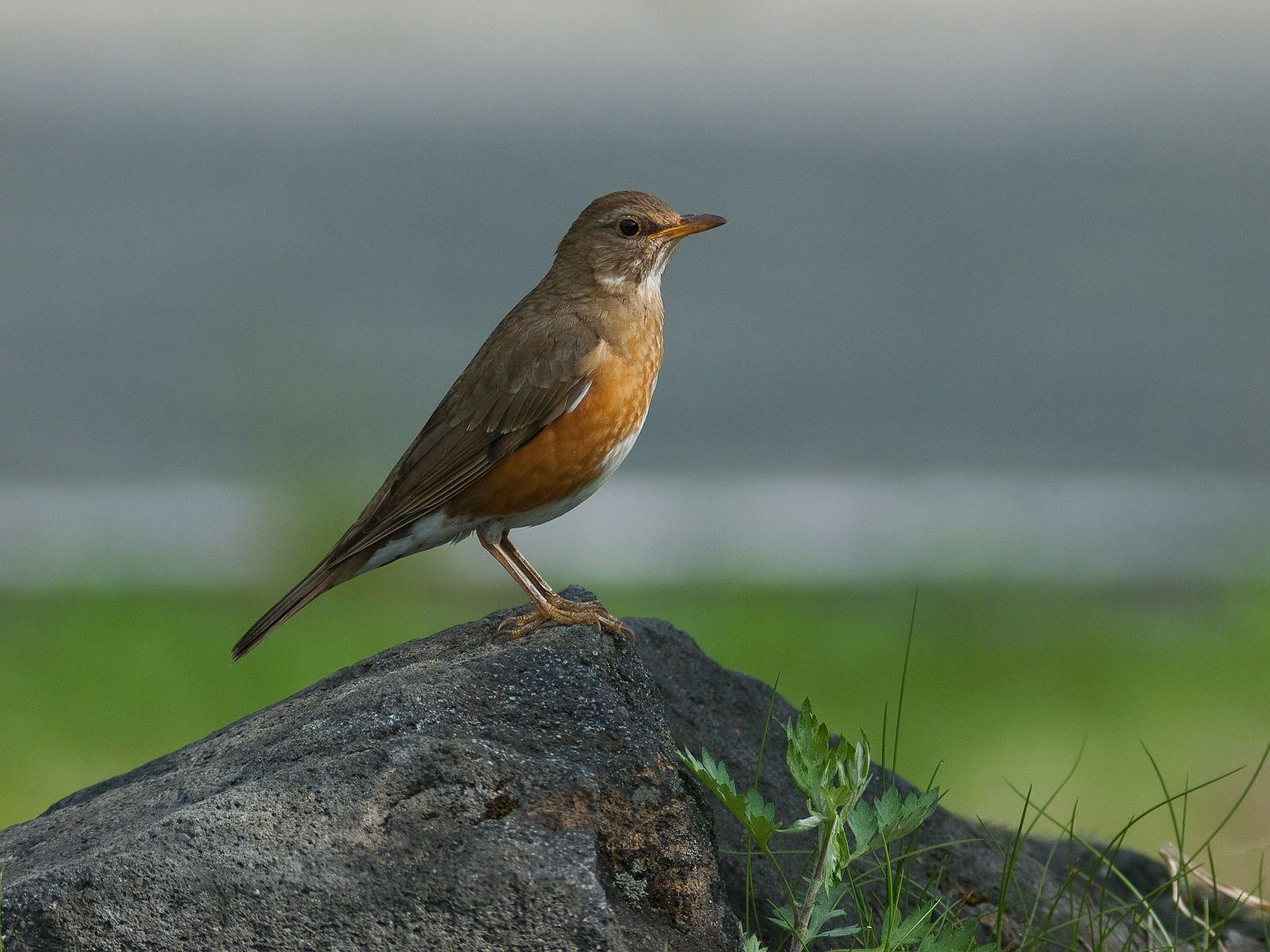 BORG77EDⅡで撮影した野鳥・アカハラの写真画像
