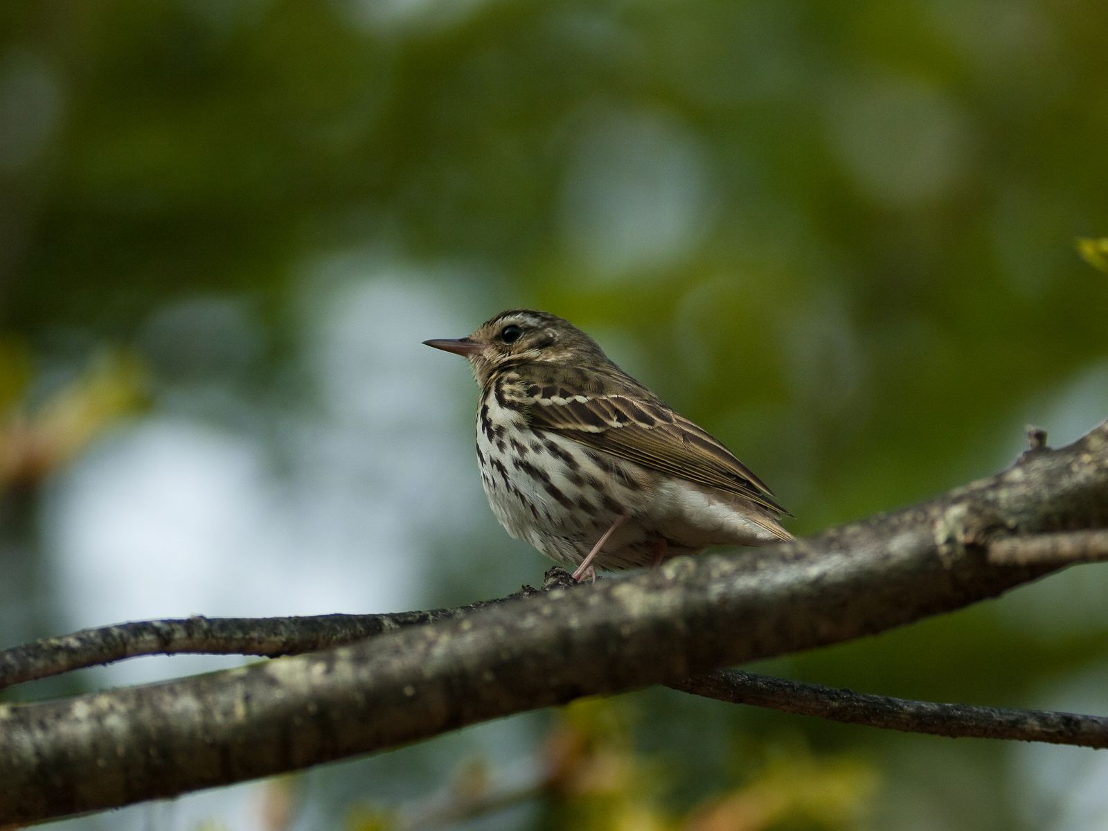 BORG77EDⅡで撮影した野鳥・ビンズイの写真画像
