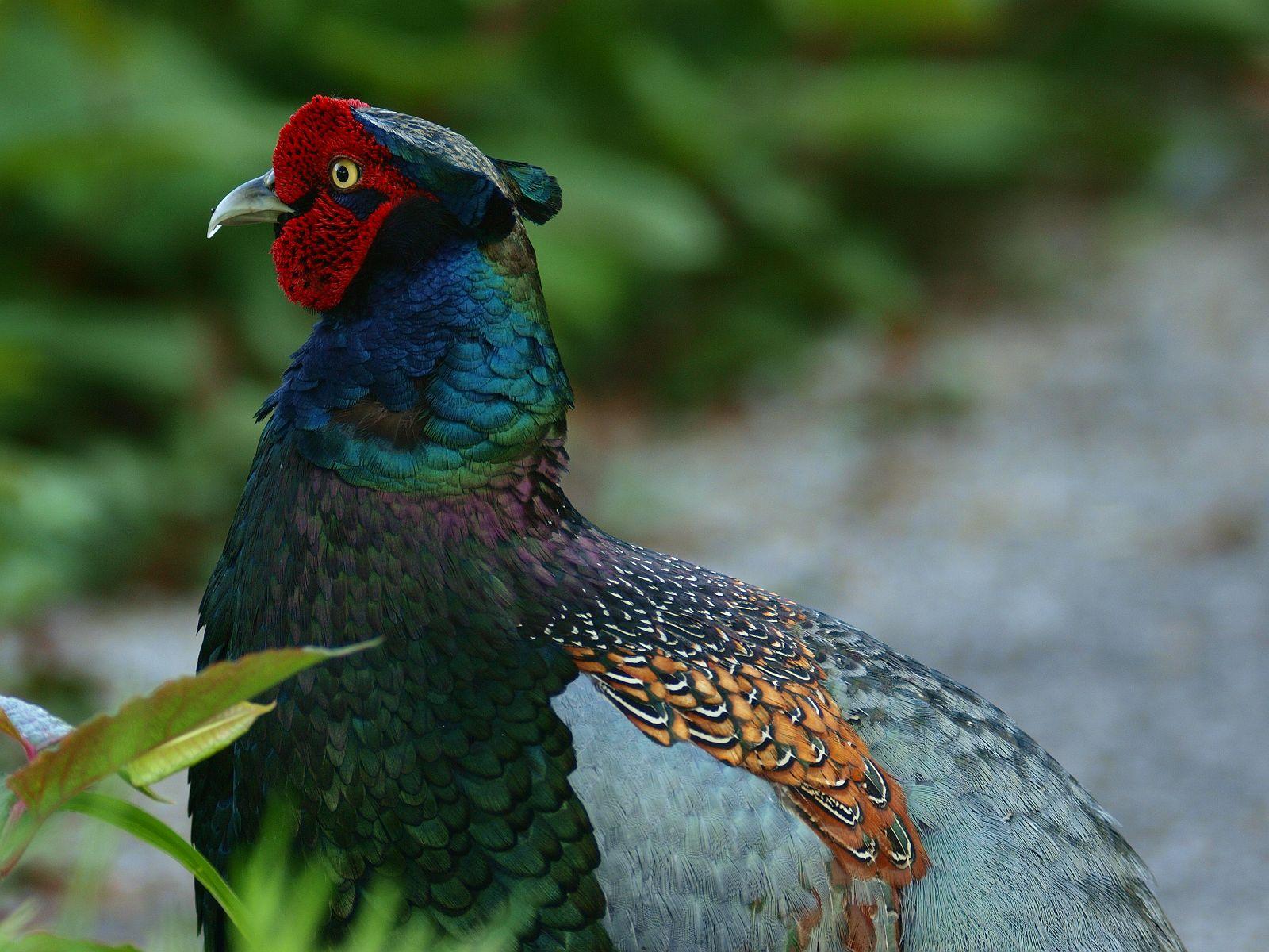 BORG77EDⅡで撮影した野鳥・キジの写真画像