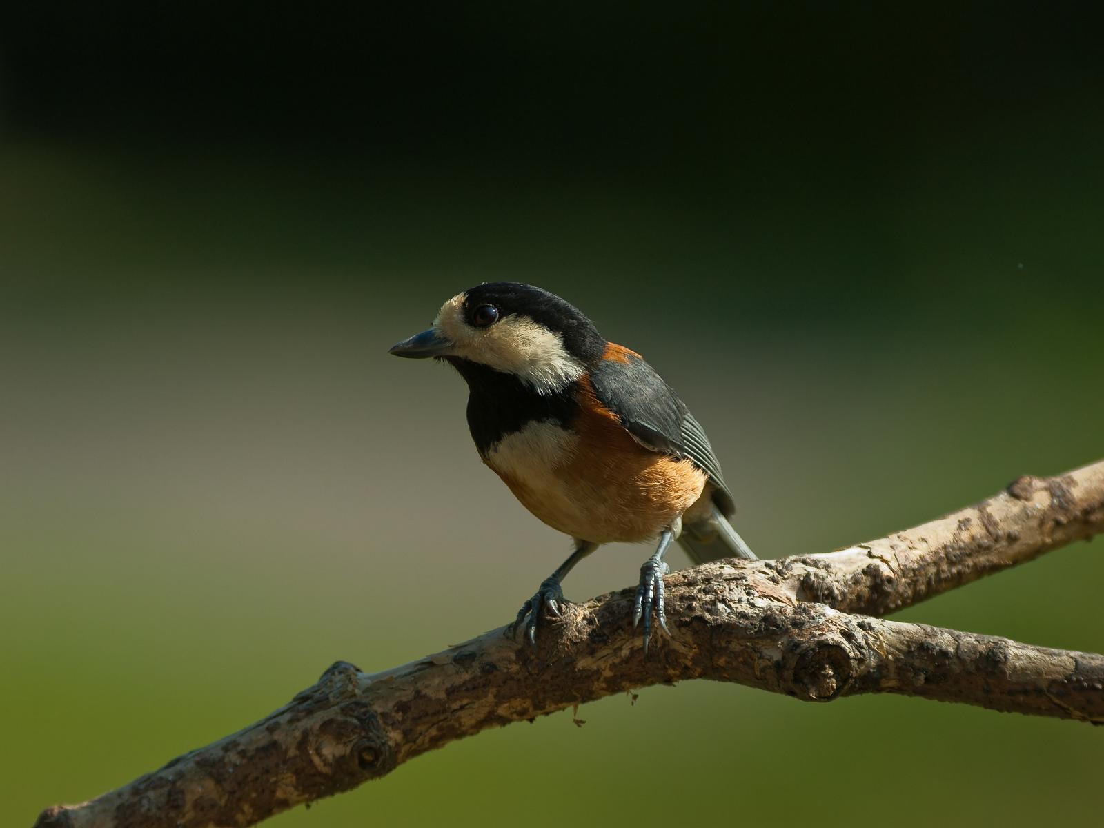 BORG60EDで撮影した野鳥・ヤマガラの写真画像