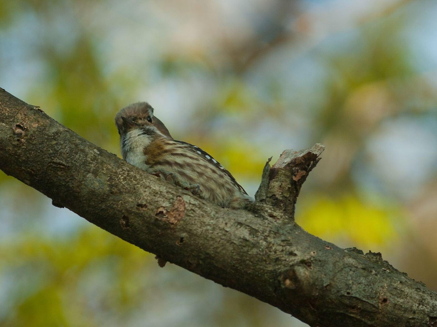 BORG45EDⅡで撮影した野鳥・コゲラの写真画像