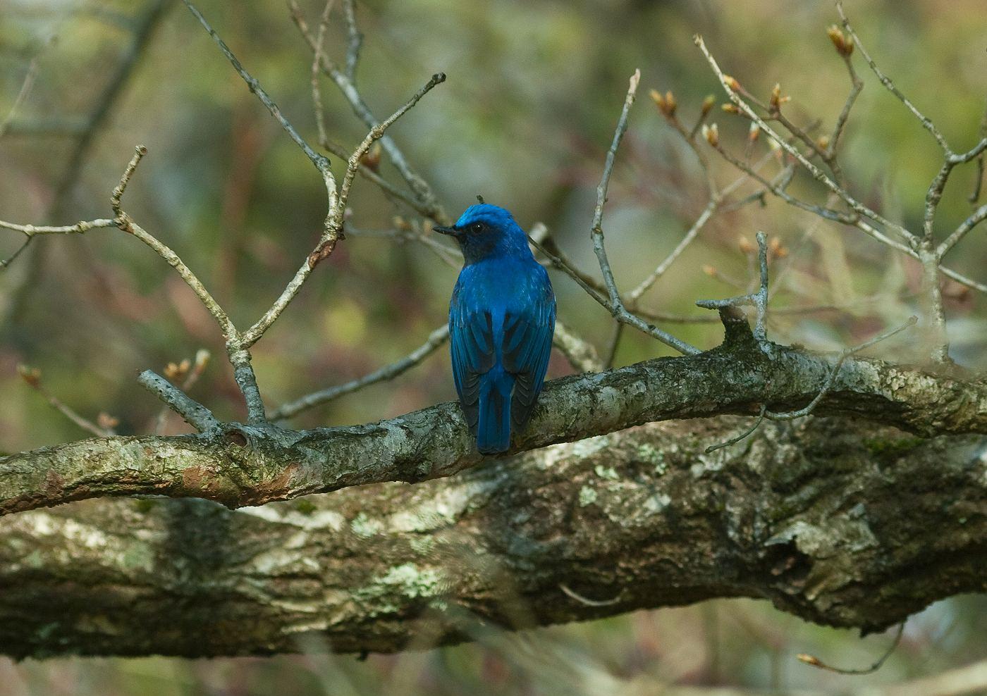 BORG45EDⅡで撮影した野鳥・オオルリの写真画像