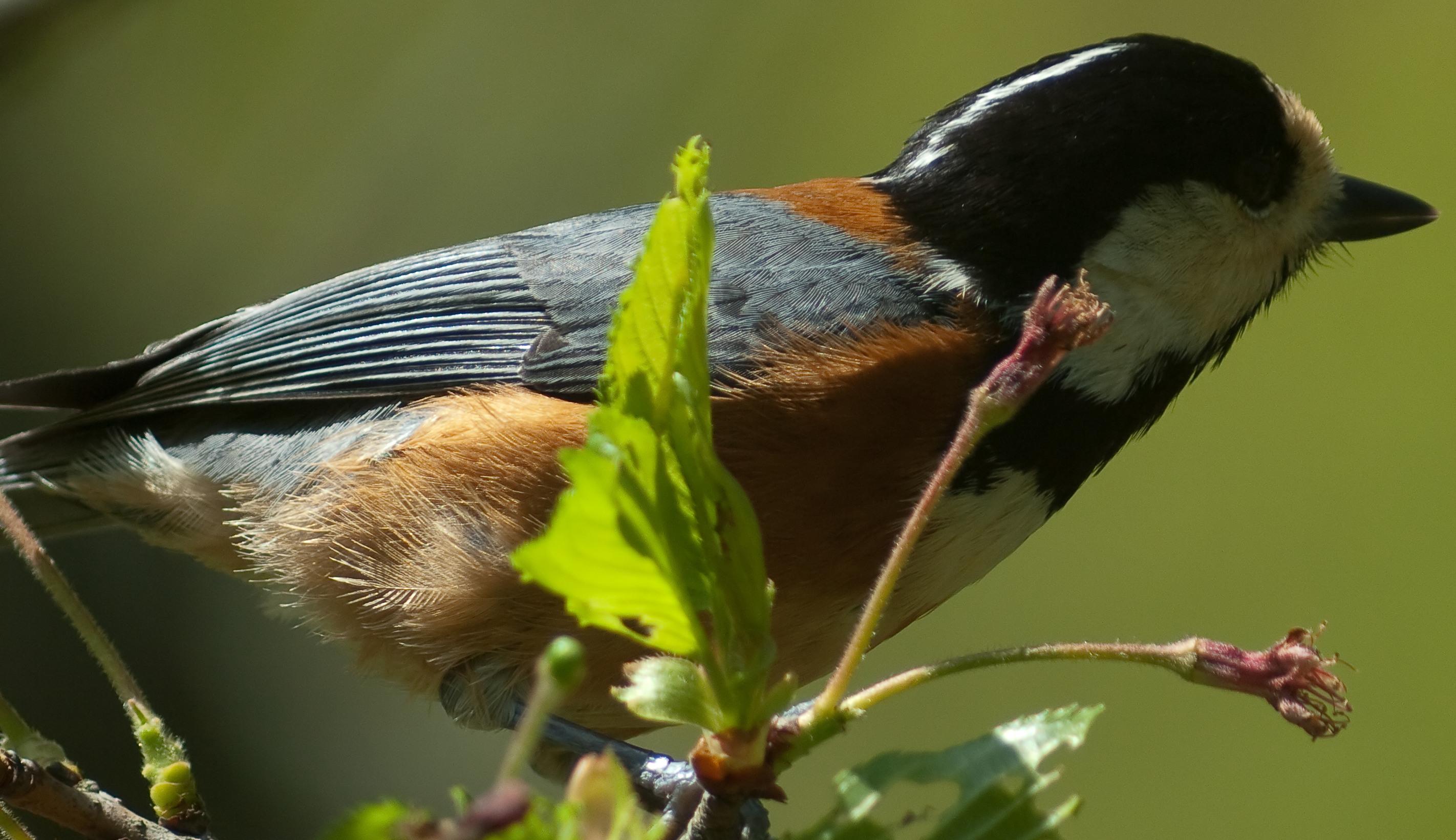 BORG 125SDで撮影した野鳥・ヤマガラの写真画像