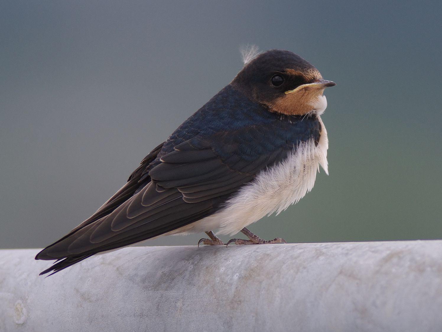 AFボーグ BORG77EDⅡで撮影した野鳥・ツバメの写真画像
