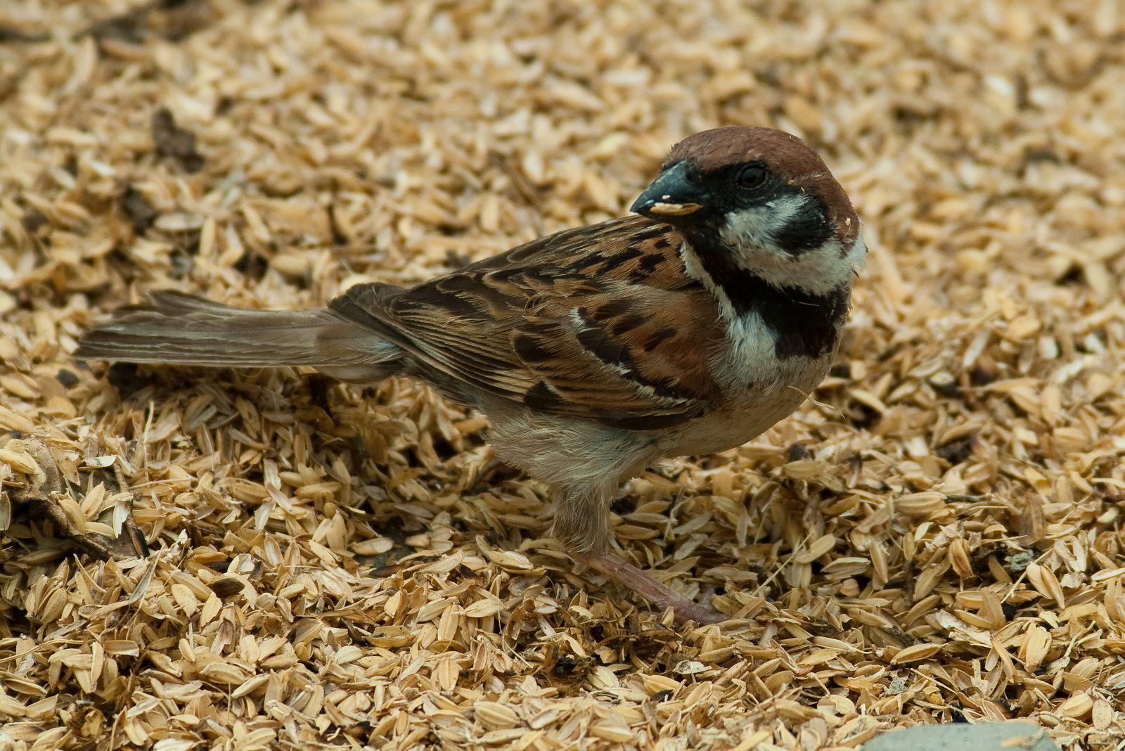 AFボーグ BORG60EDで撮影した野鳥・スズメの写真画像