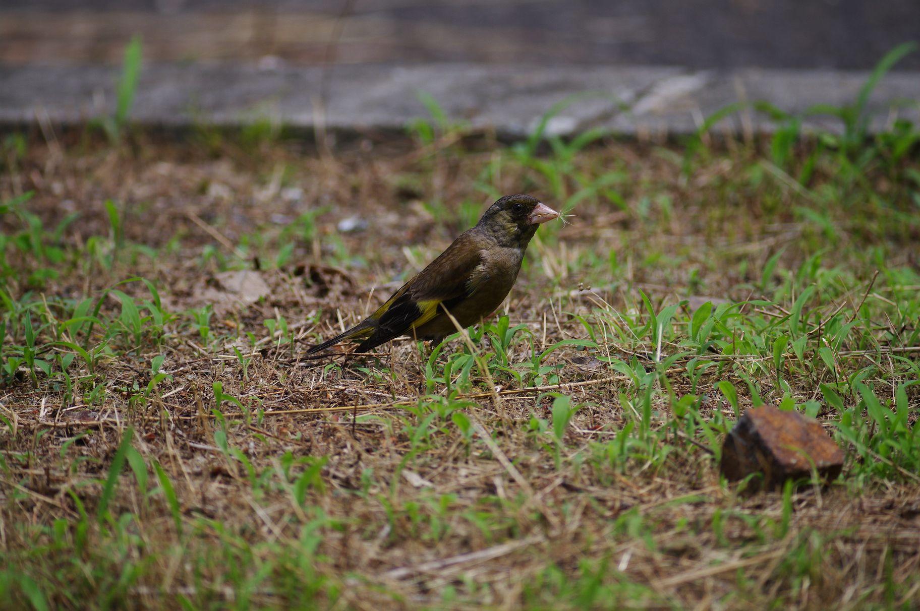 BORG77EDⅡで撮影した野鳥・カワラヒワの写真画像