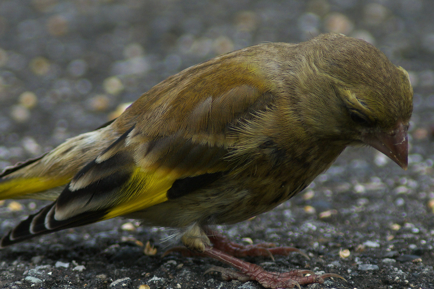 BORG 125SDで撮影した野鳥・カワラヒワの写真画像