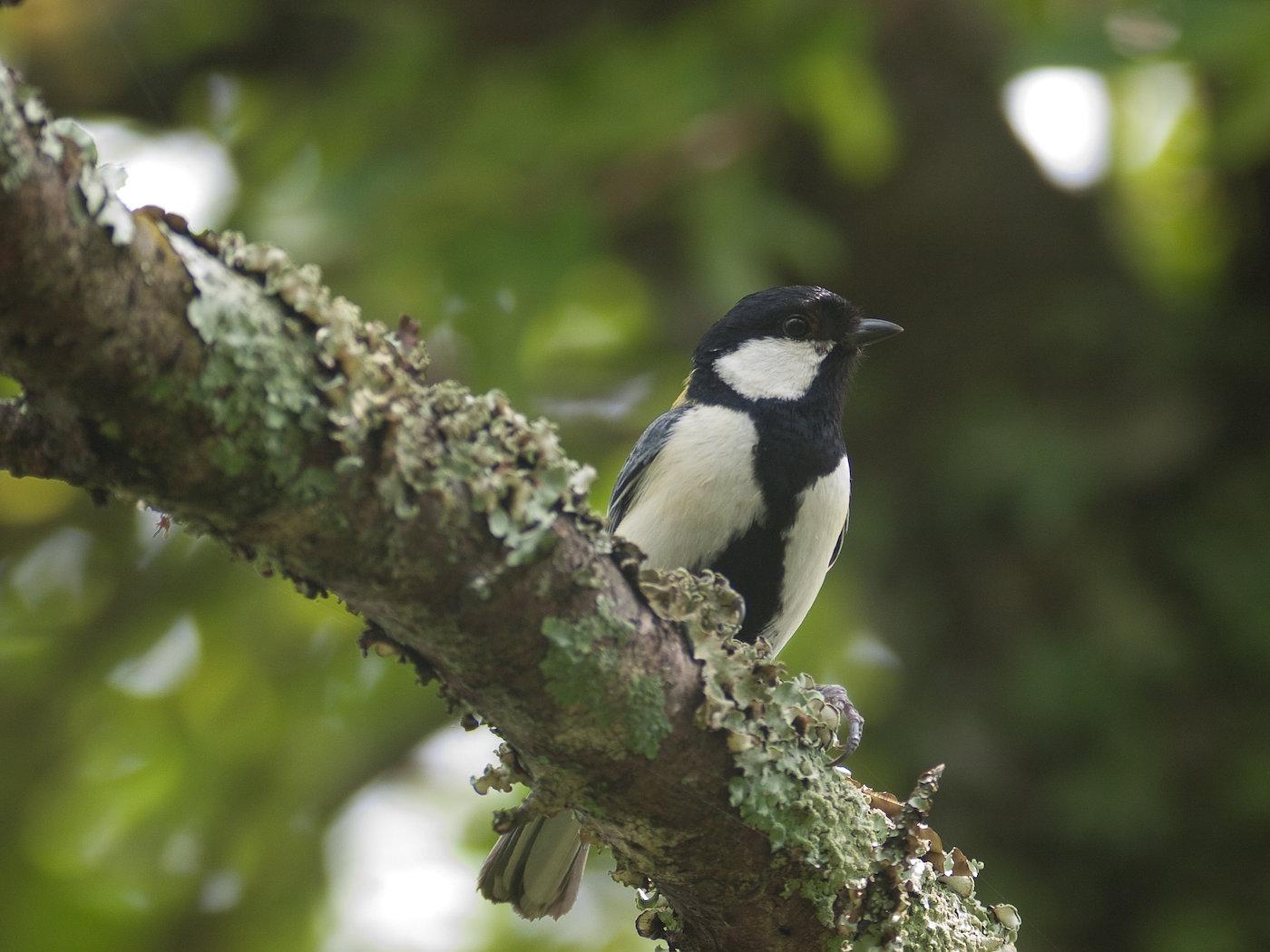 BORG77EDⅡで撮影した野鳥・シジュウカラの写真画像