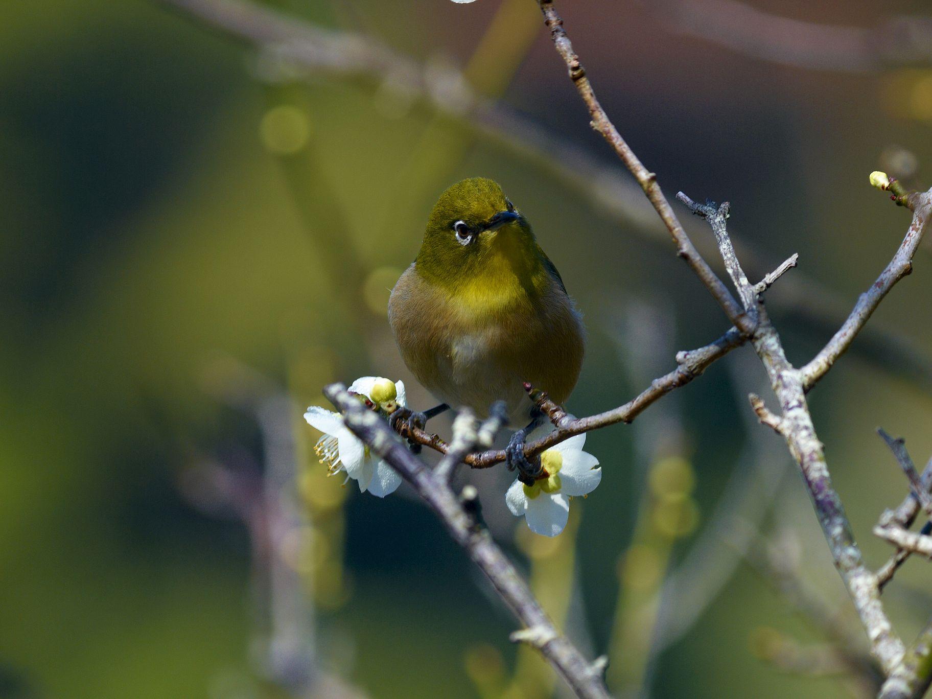 BORGで撮影した野鳥・メジロの写真画像