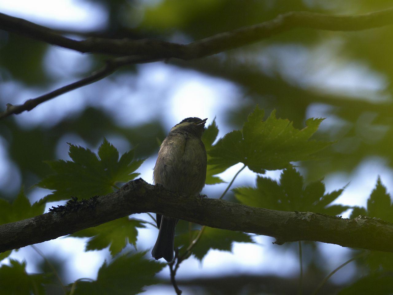 BORG71FLで撮影した野鳥・シジュウカラの写真画像