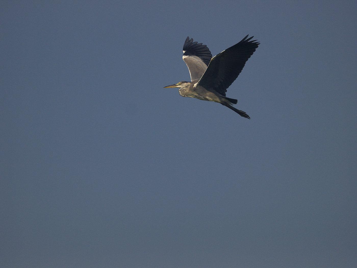 BORG45EDⅡで撮影した野鳥・アオサギの飛翔写真画像(トビモノ)