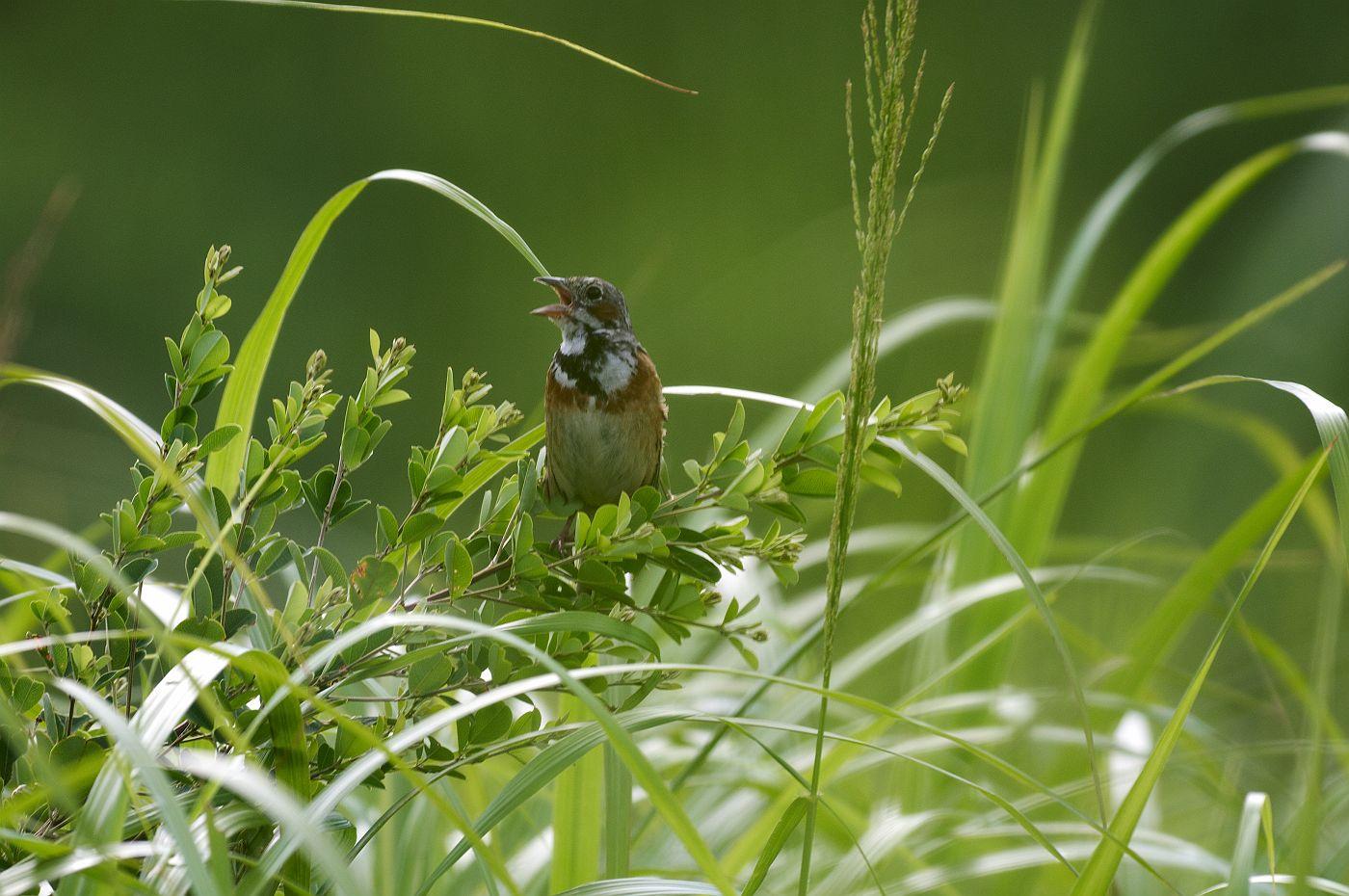 BORG71FLで撮影した野鳥・ホオアカの写真画像