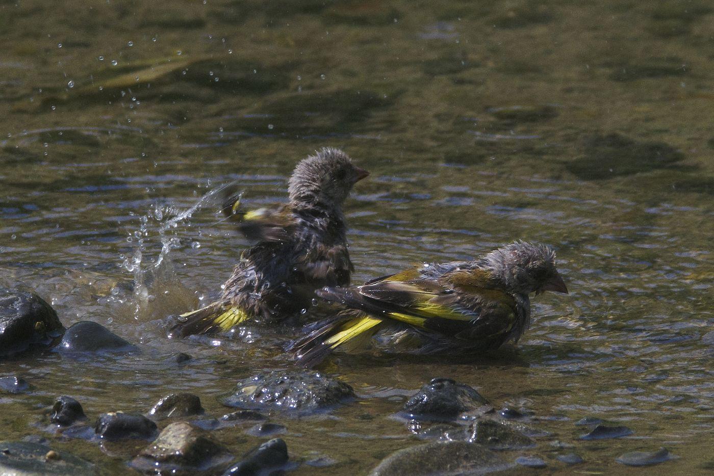 AFボーグ BORG71FLで撮影した野鳥・カワラヒワの水浴びの写真画像