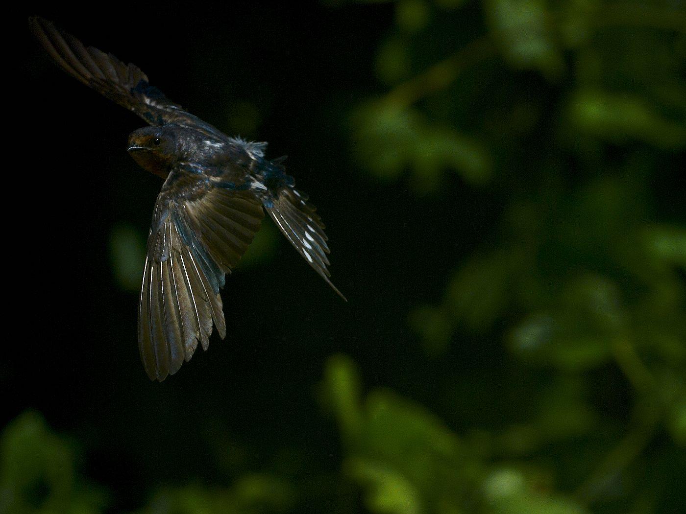 BORG71FLで撮影した野鳥・ツバメの飛翔写真画像(トビモノ)