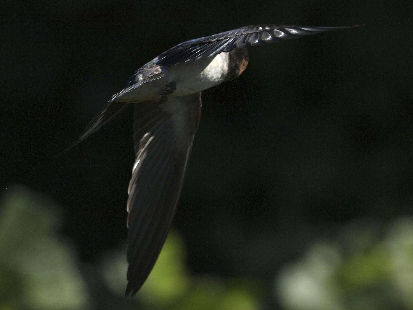 BORG45EDⅡで撮影した野鳥・ツバメの飛翔写真画像(トビモノ)