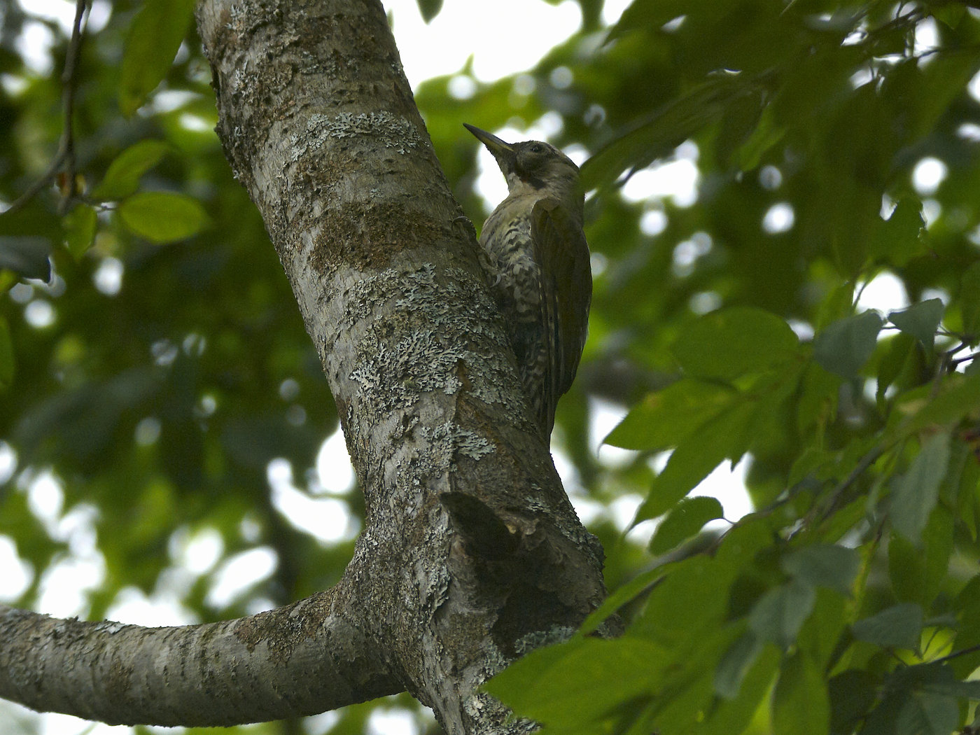 BORG71FLで撮影した野鳥・アオゲラの写真画像