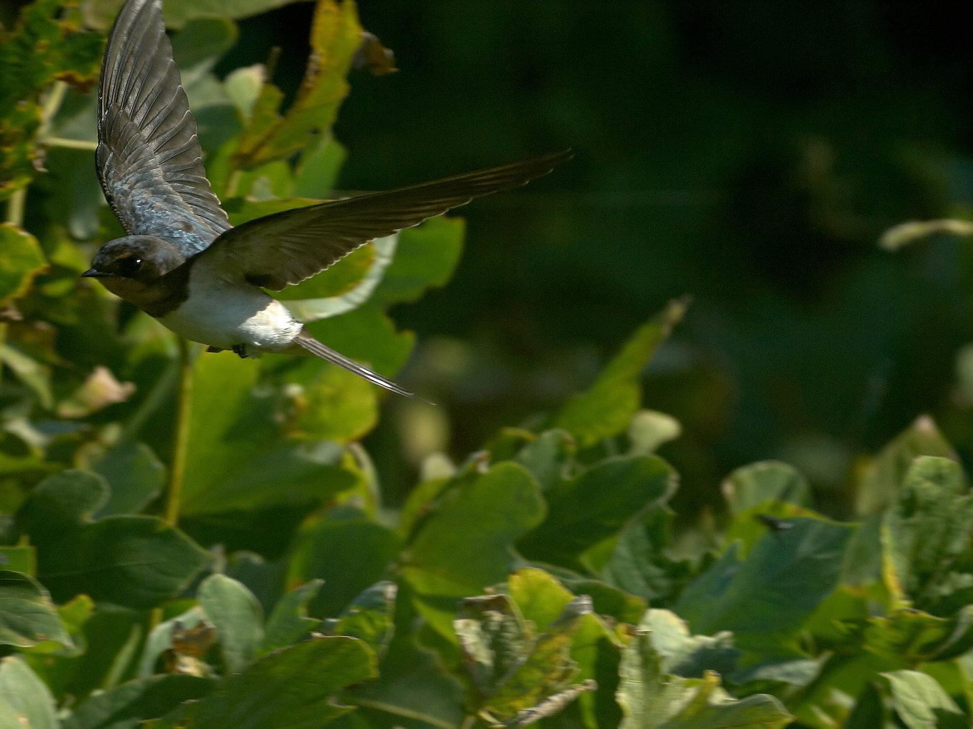BORG60EDで撮影した野鳥・ツバメの飛翔写真画像