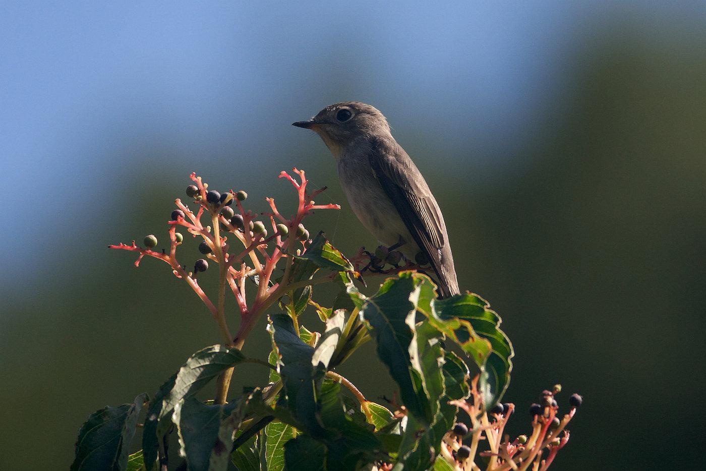 BORG71FLで撮影した野鳥・サメビタキの写真画像