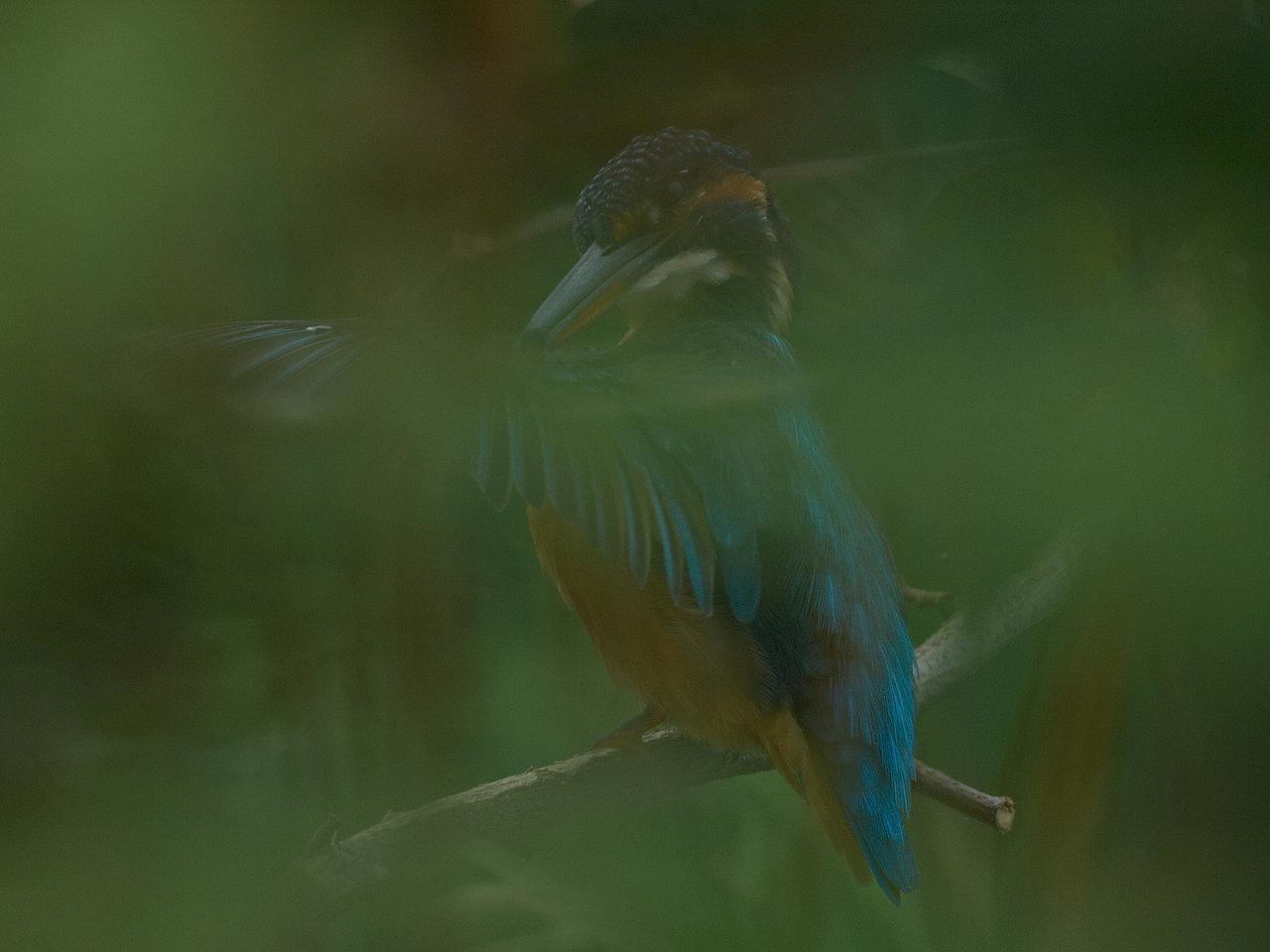 BORG71FLで撮影した野鳥・カワセミの写真画像