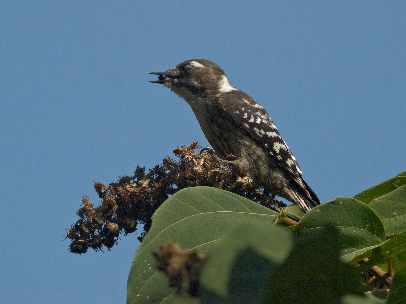 BORG71FLで撮影した野鳥・コゲラの写真画像