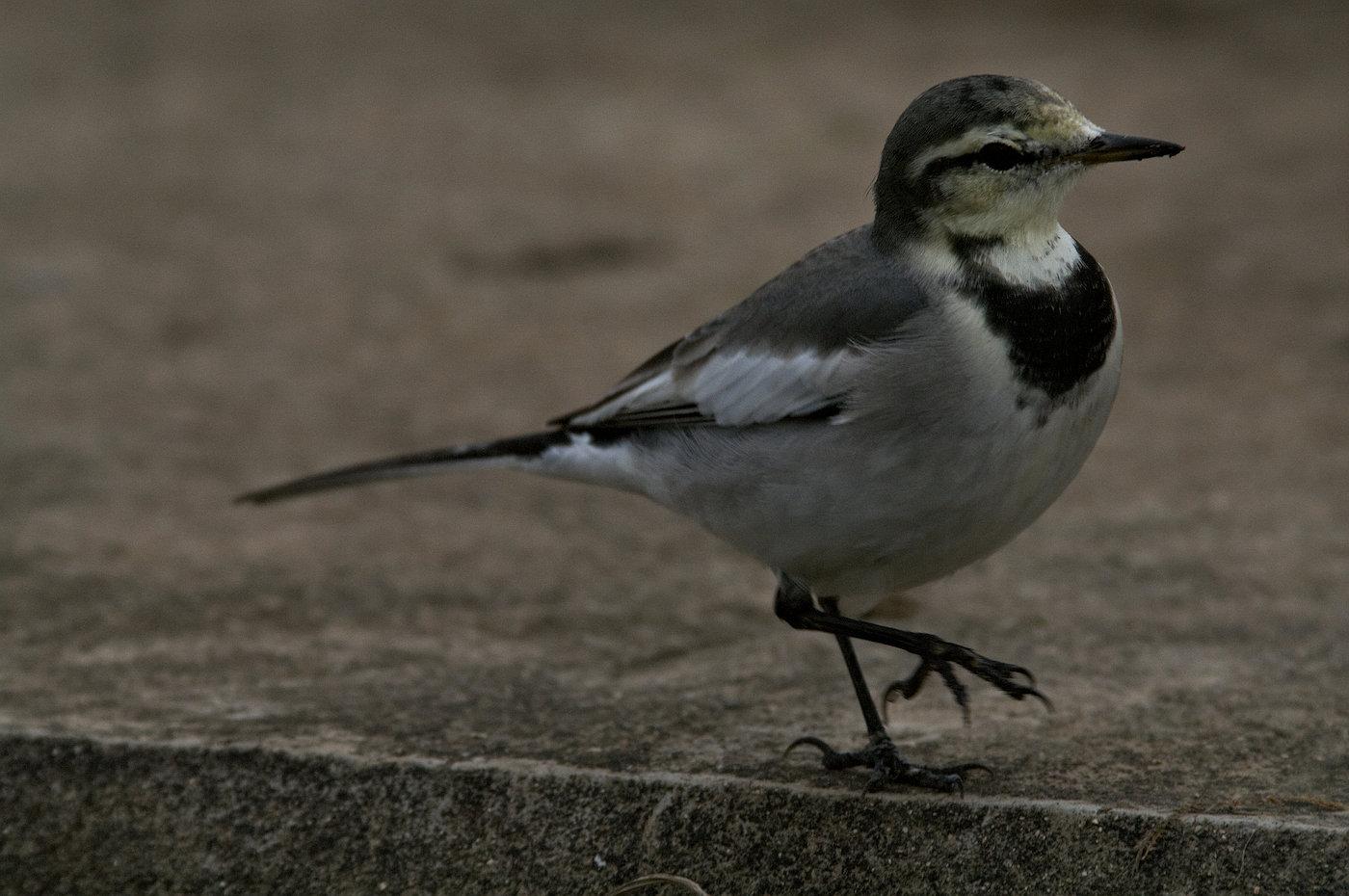 AFボーグ BORG71FLで撮影した野鳥・ハクセキレイの写真画像
