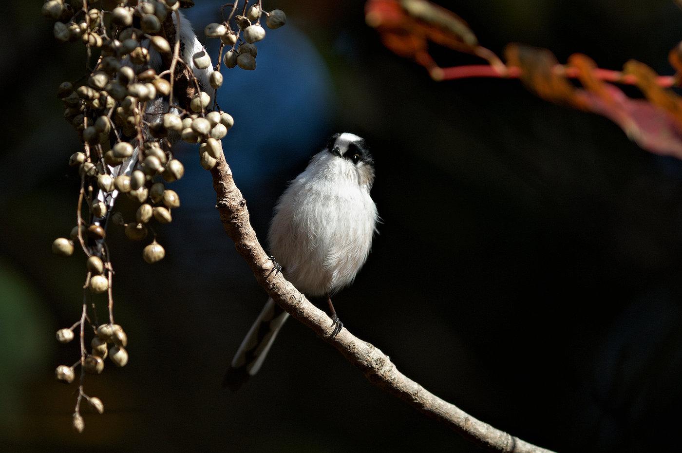 BORG 125SDで撮影した野鳥・エナガの写真画像