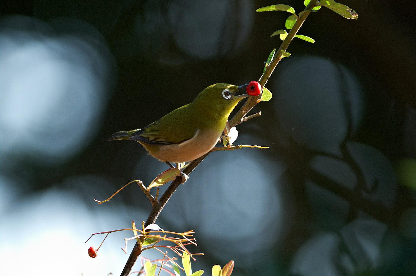 BORG 125SDで撮影した野鳥・メジロの写真画像