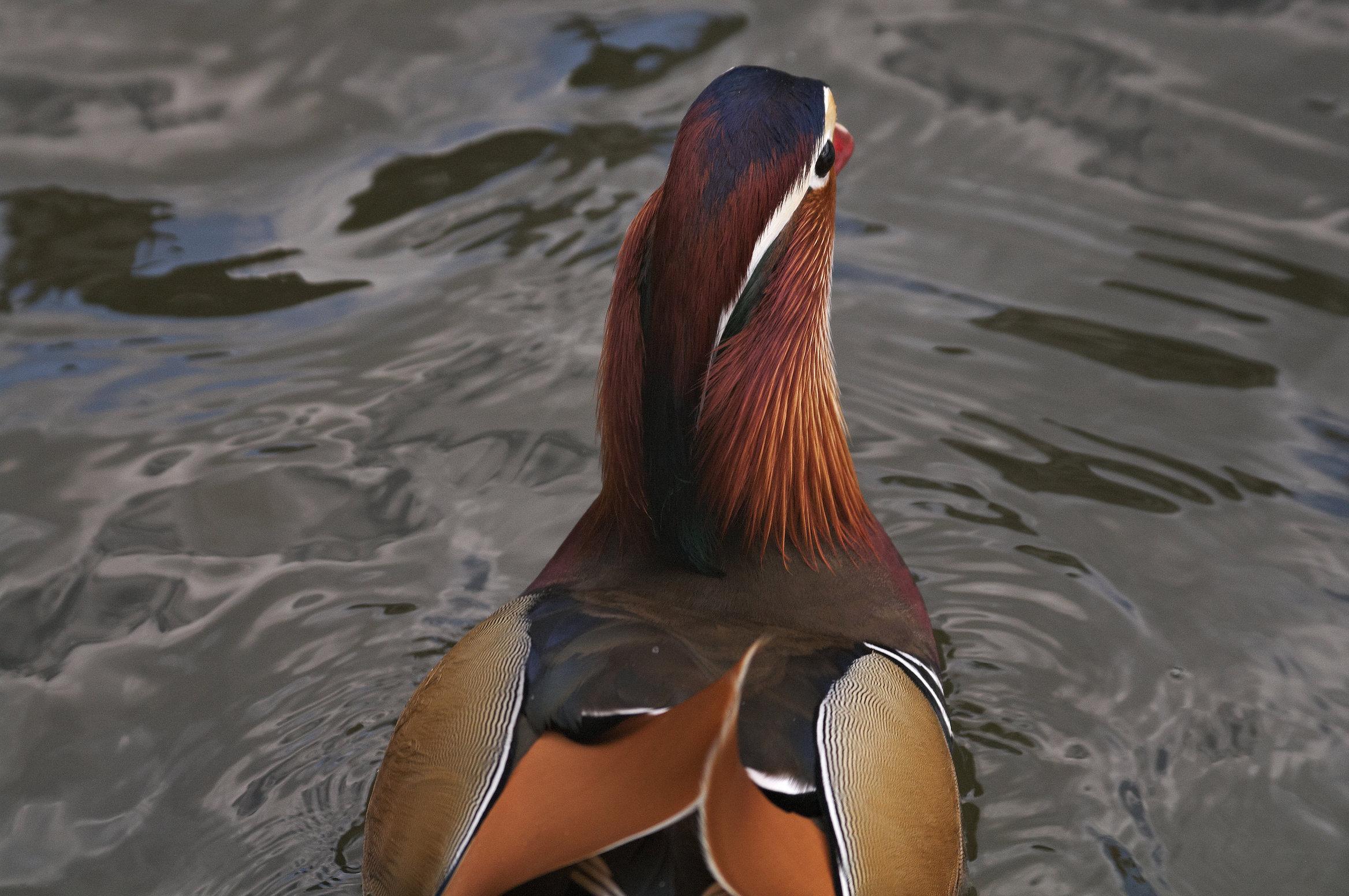BORG71FLで撮影した野鳥・オシドリの写真画像