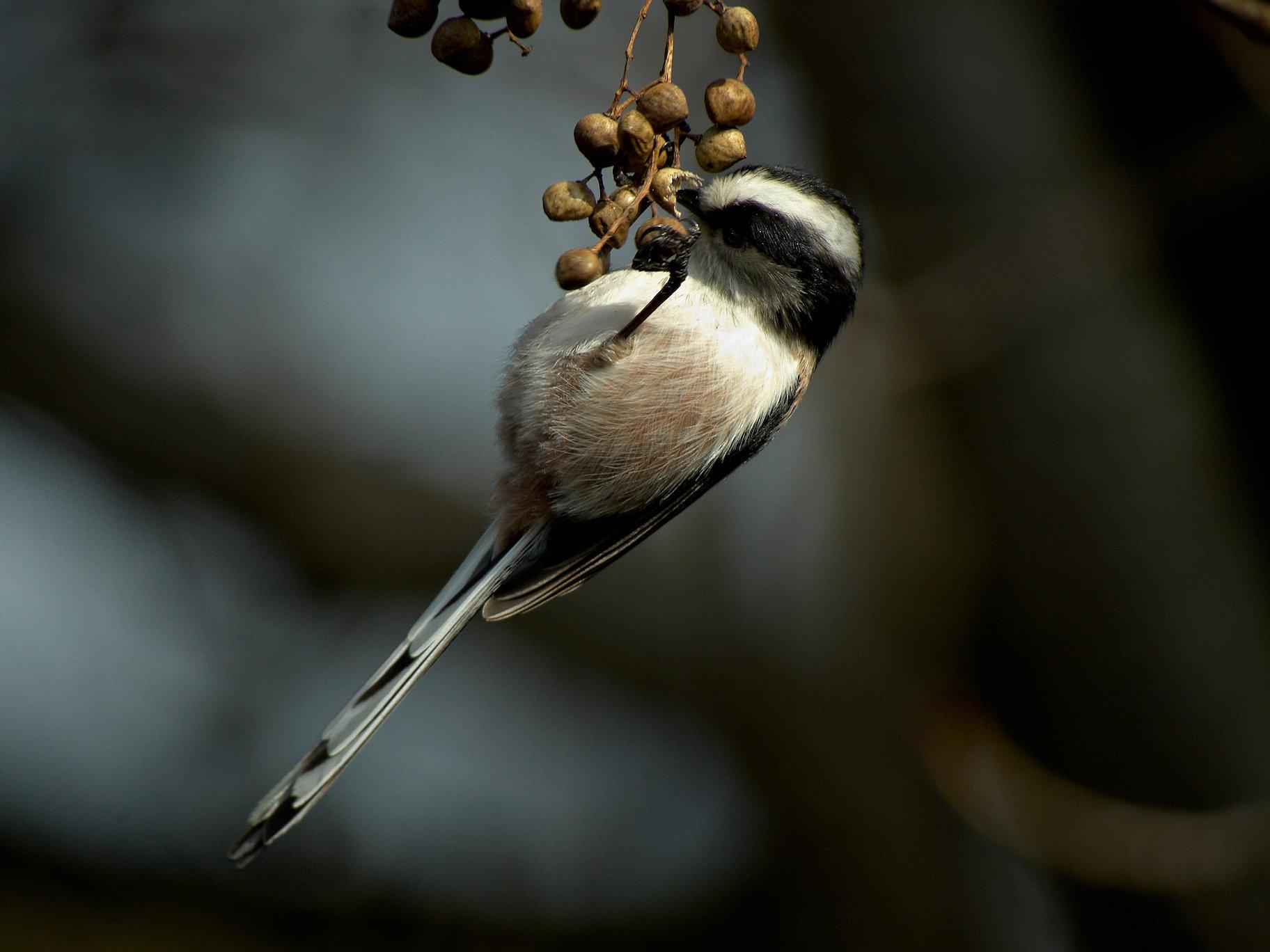 BORG101EDで撮影した野鳥・エナガの写真画像