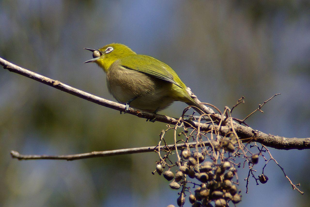 BORG101EDで撮影した野鳥・メジロの写真画像