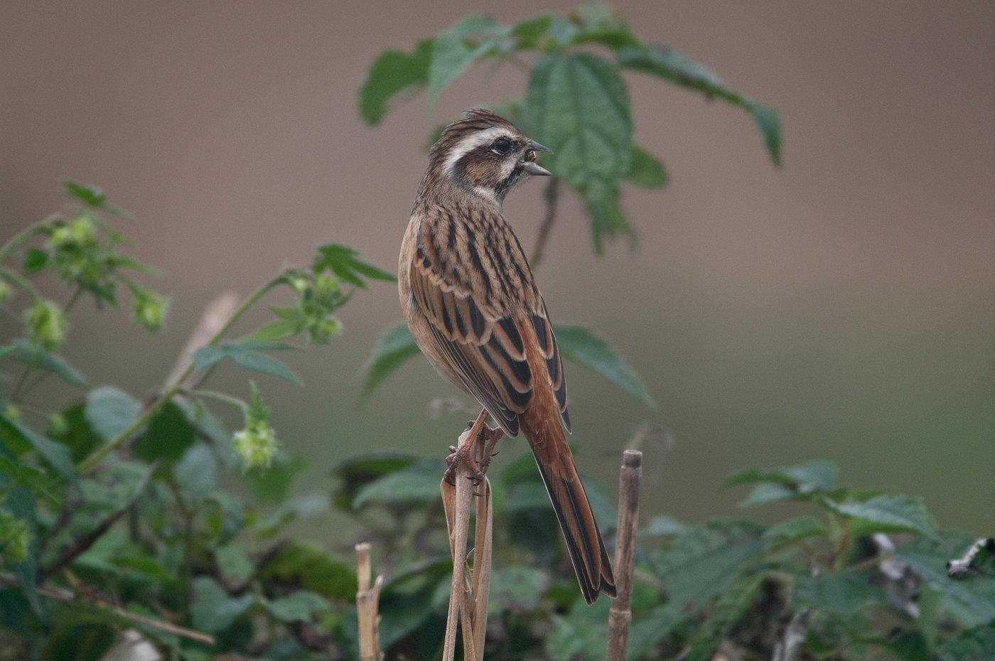 AFボーグ BORG71FLで撮影した野鳥・ホオジロの写真画像