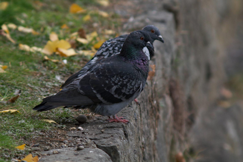 AFボーグ BORGで撮影した野鳥・ハトの写真画像