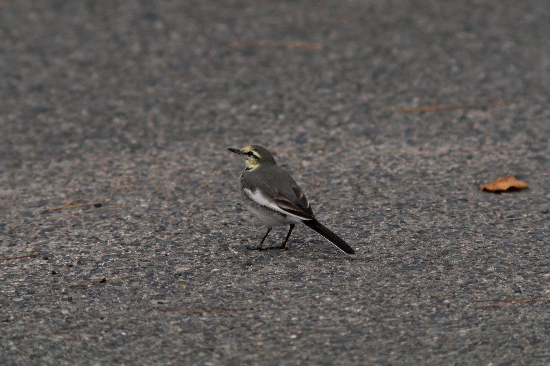 AFボーグ BORGで撮影した野鳥・ハクセキレイの写真画像