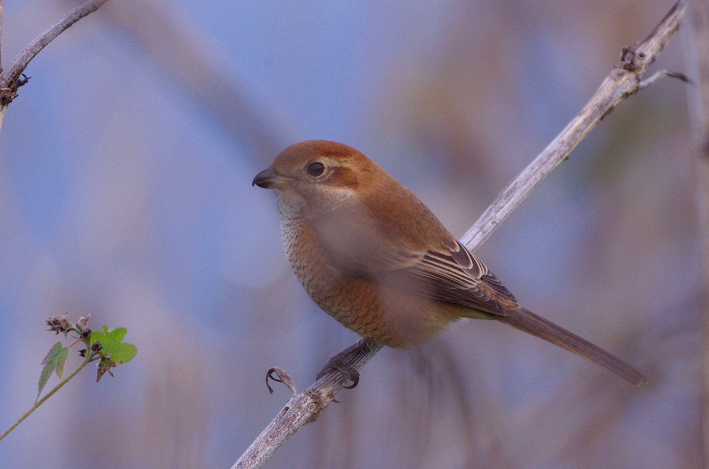 AFボーグ BORG71FLで撮影した野鳥・モズの写真画像