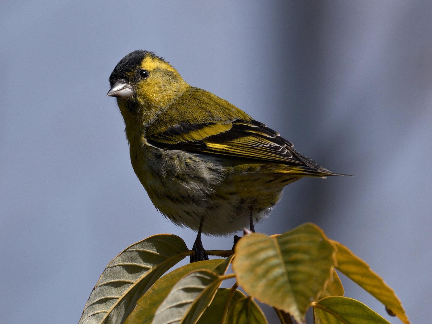 BORG50FLで撮影した野鳥・マヒワの写真画像