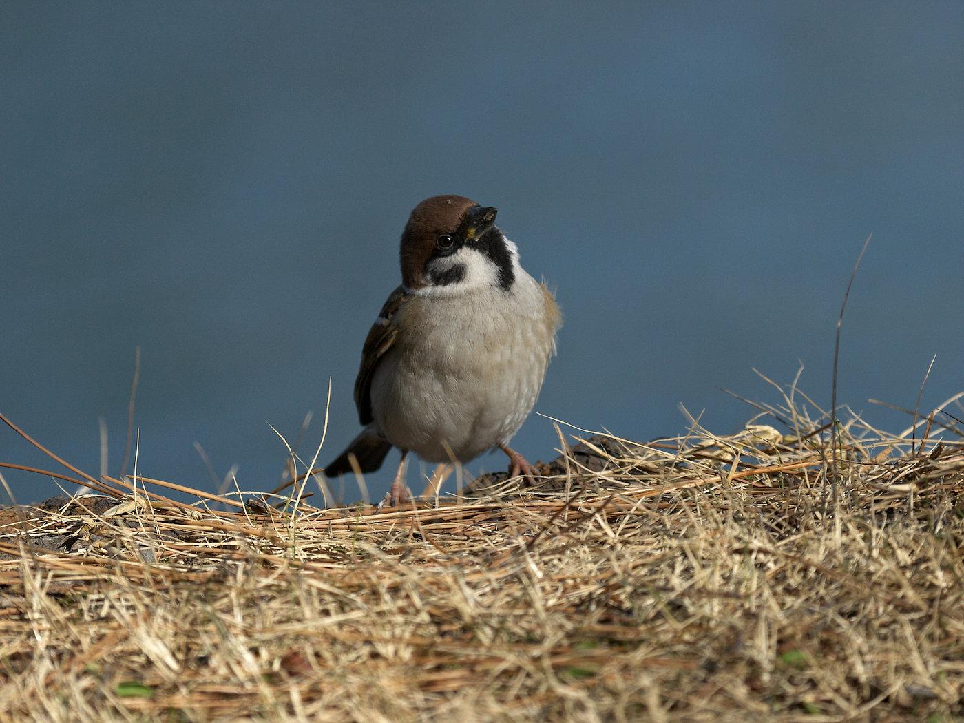 BORG50FLで撮影した野鳥・スズメの写真画像