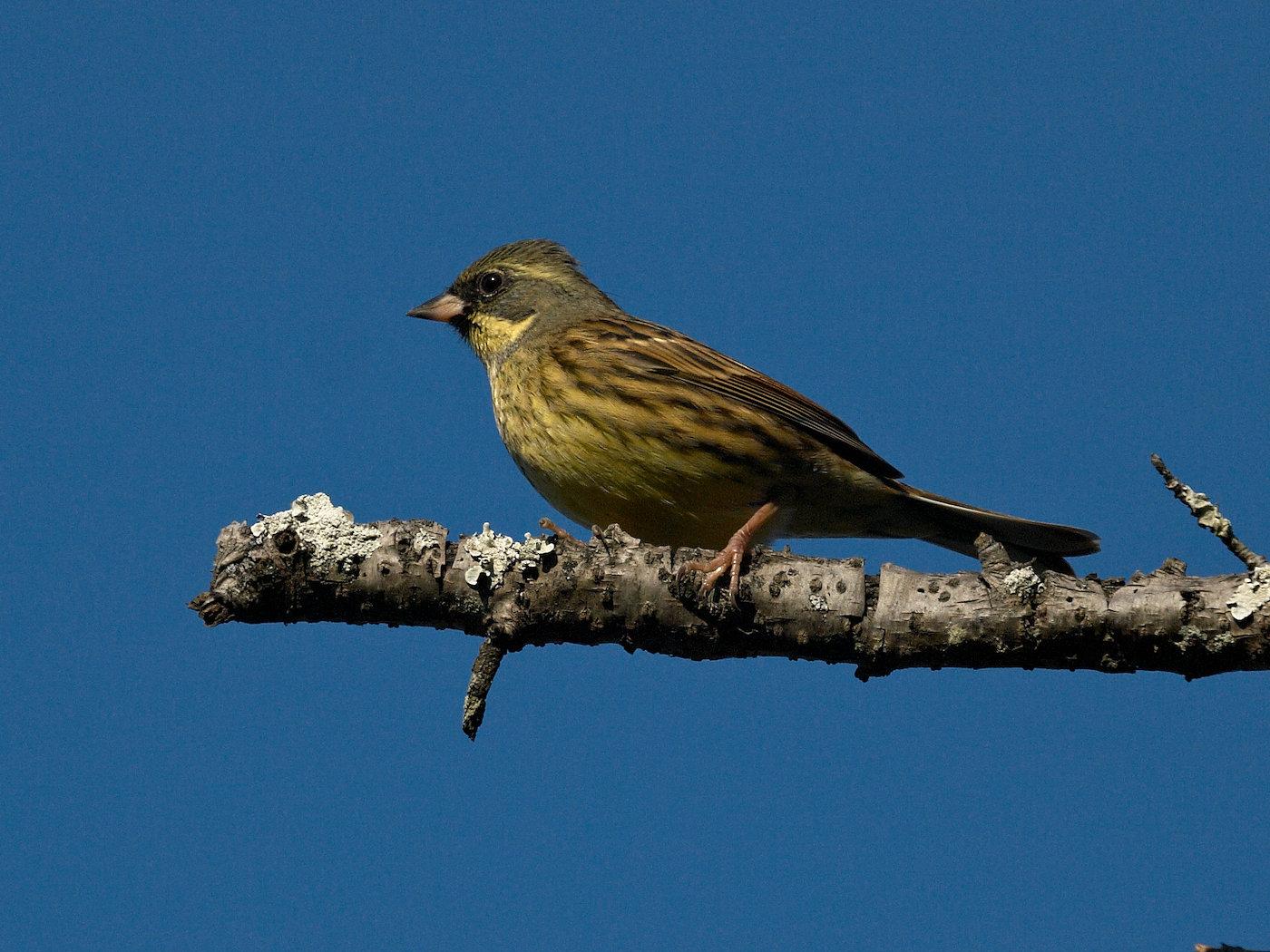 BORG50FLで撮影した野鳥・アオジの写真画像