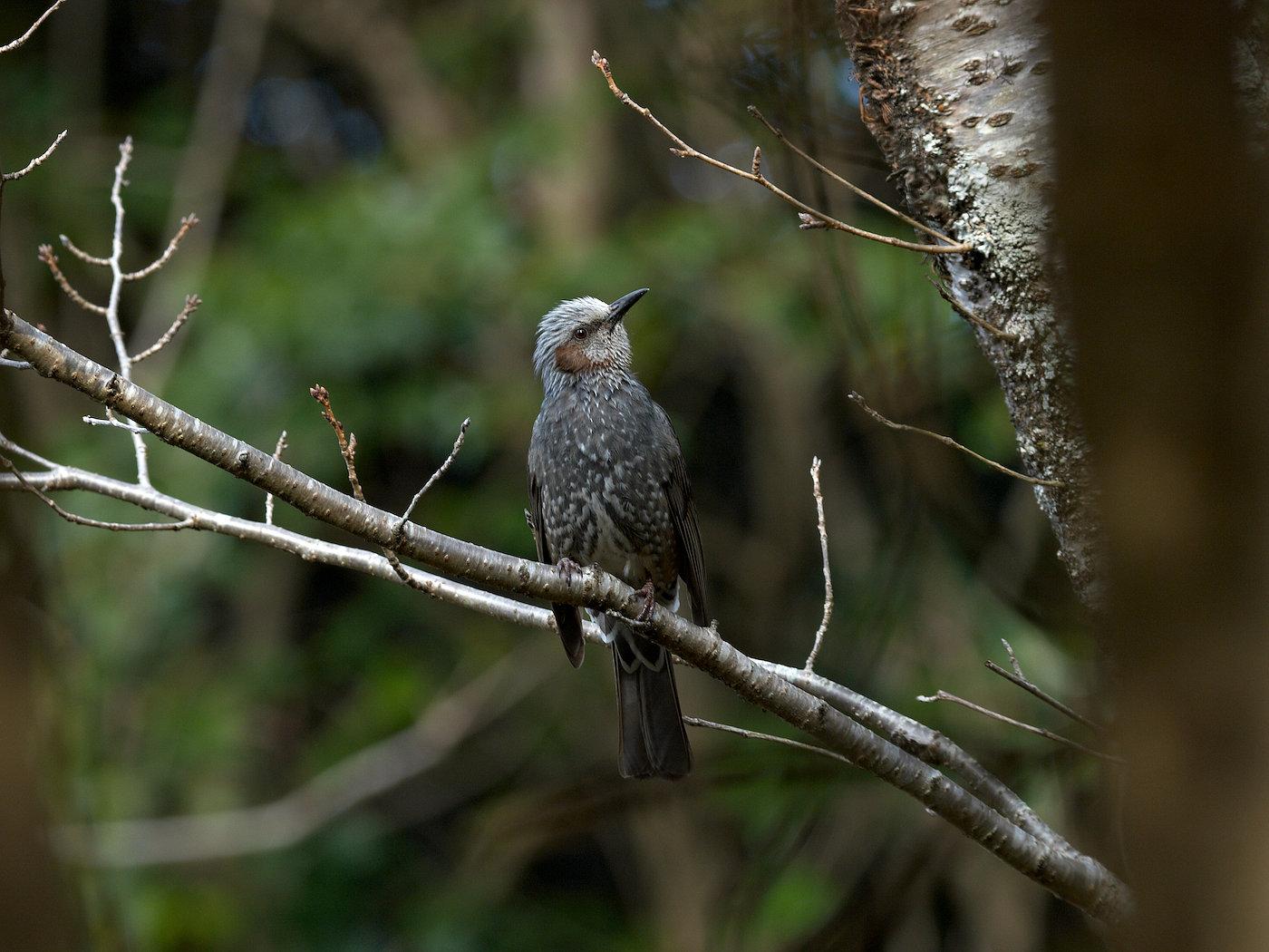 BORG50FLで撮影した野鳥・ヒヨドリの写真画像