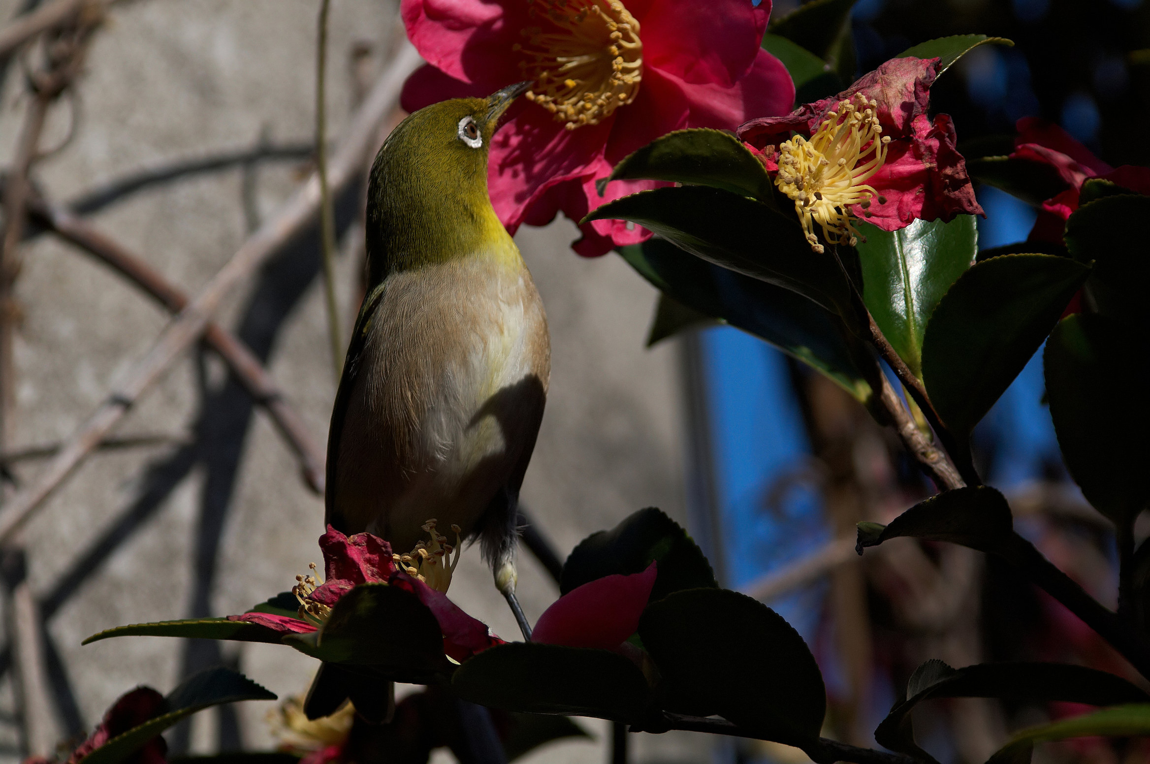 AFボーグ BORG77EDⅡで撮影した野鳥・メジロの写真画像