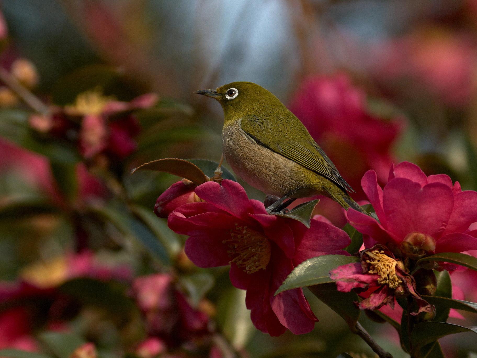 BORG60EDで撮影した野鳥・メジロの写真画像