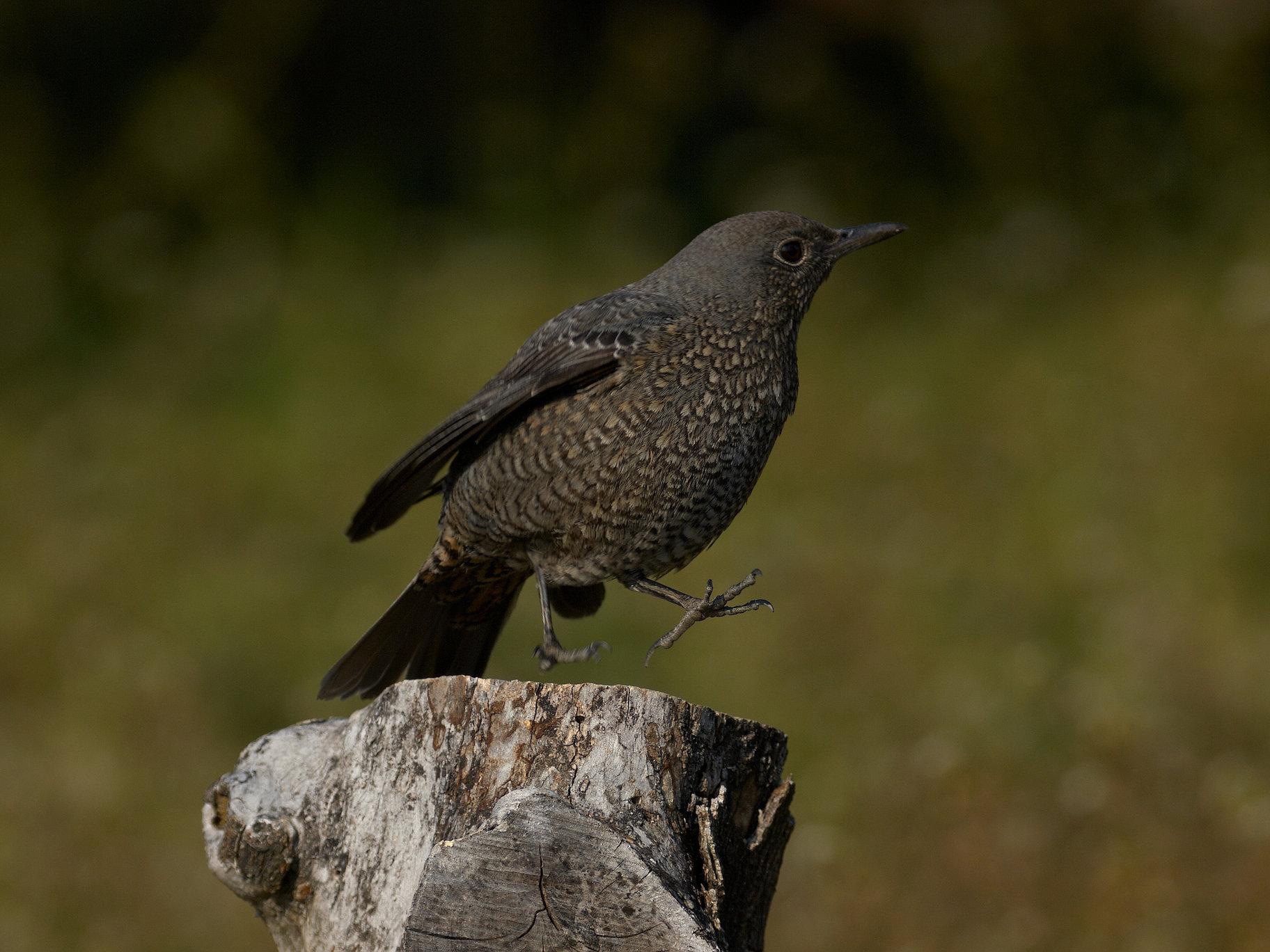 BORG60EDで撮影した野鳥・イソヒヨドリの写真画像