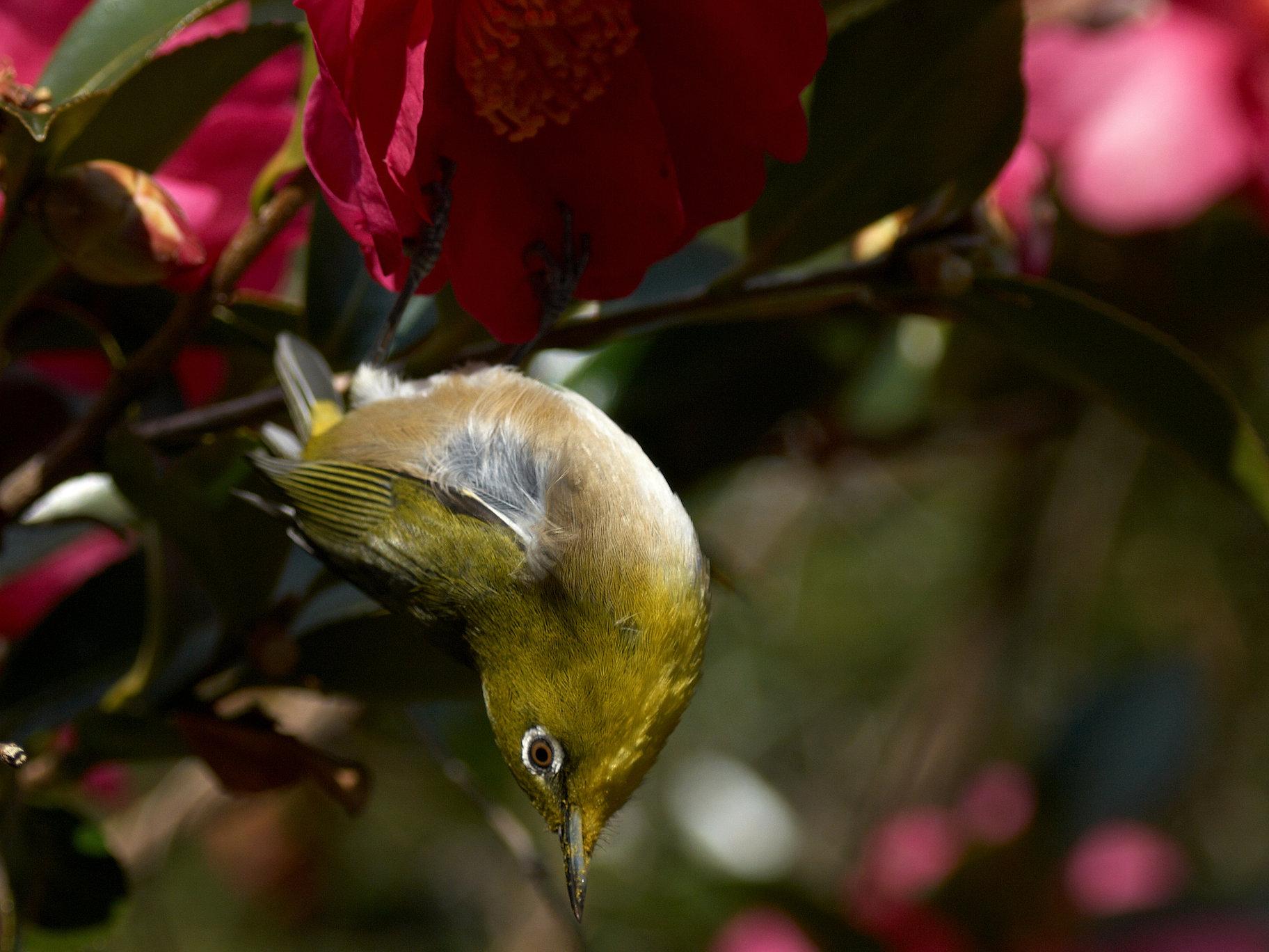 BORG77EDⅡで撮影した野鳥・メジロの写真画像