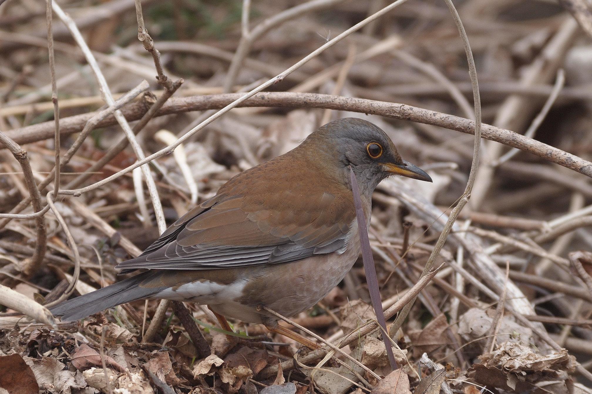 AFボーグ BORG71FLで撮影した野鳥・シロハラの写真画像