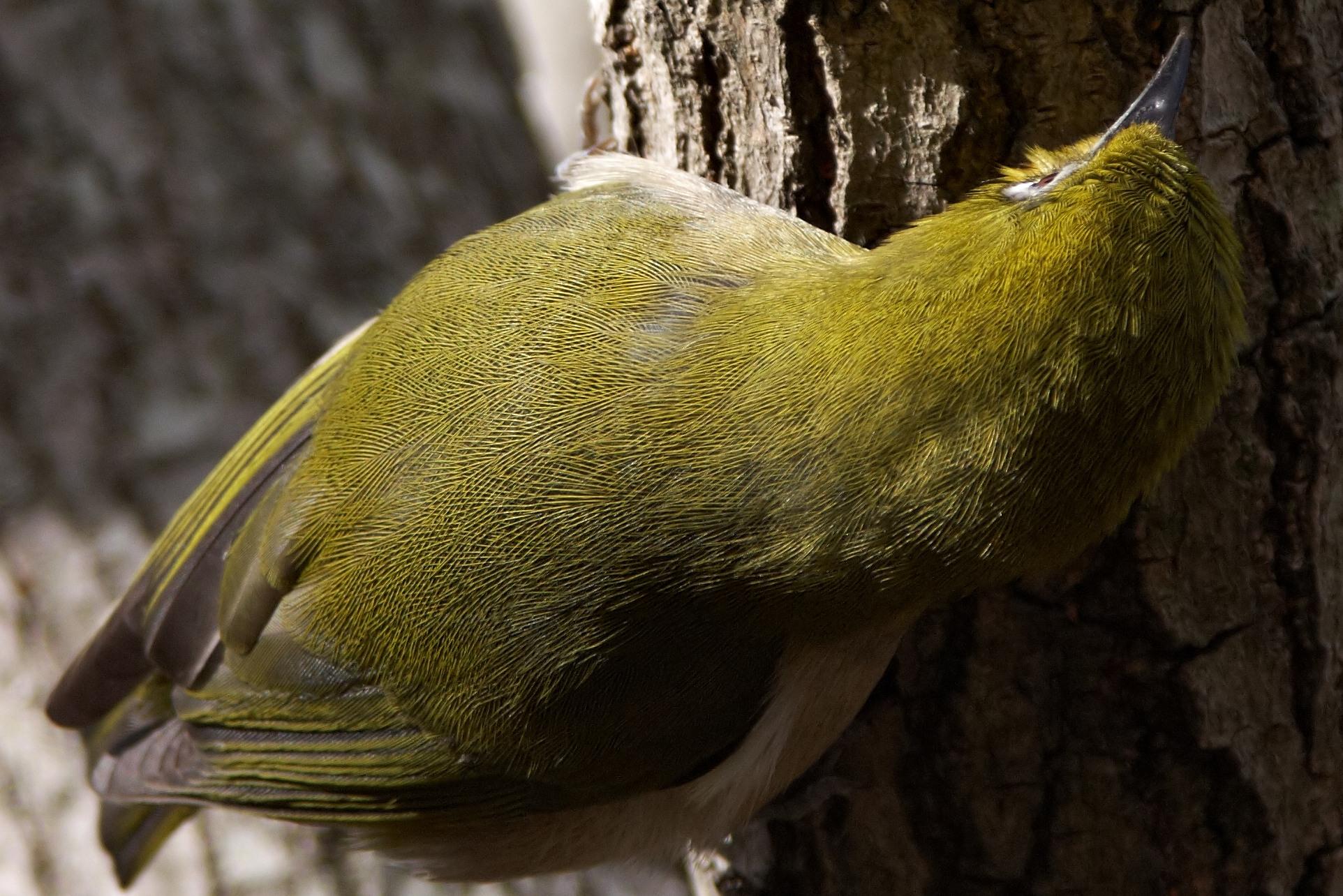 AFボーグ BORG60EDで撮影した野鳥・メジロの写真画像