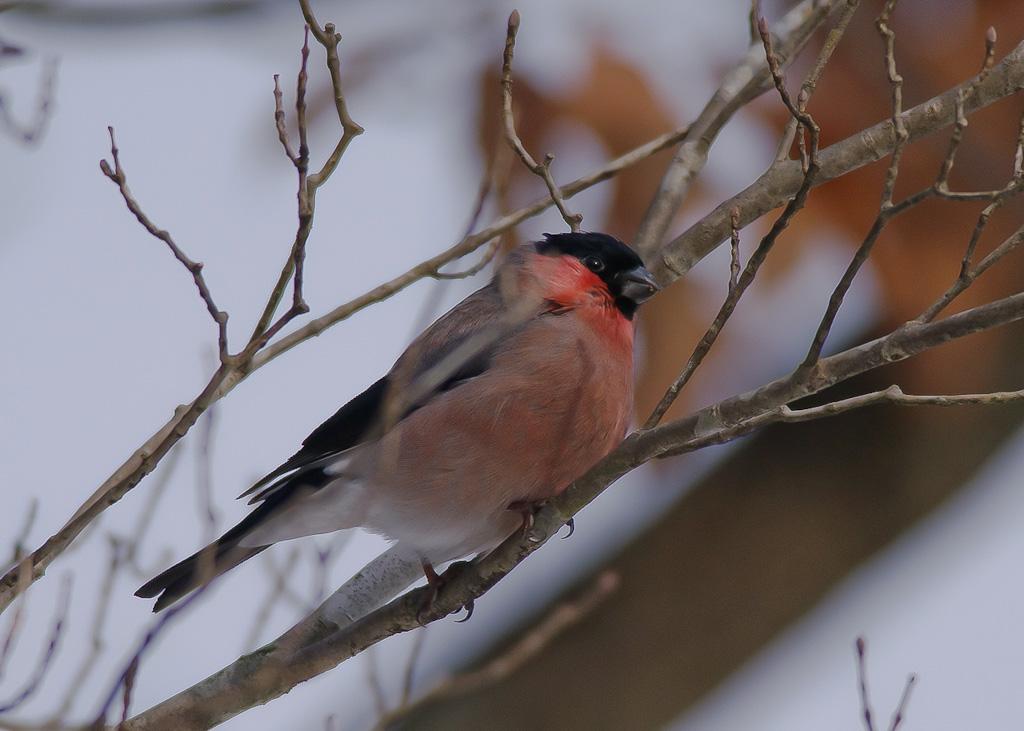 AFボーグ BORG77EDⅡで撮影した野鳥・アカウソの写真画像
