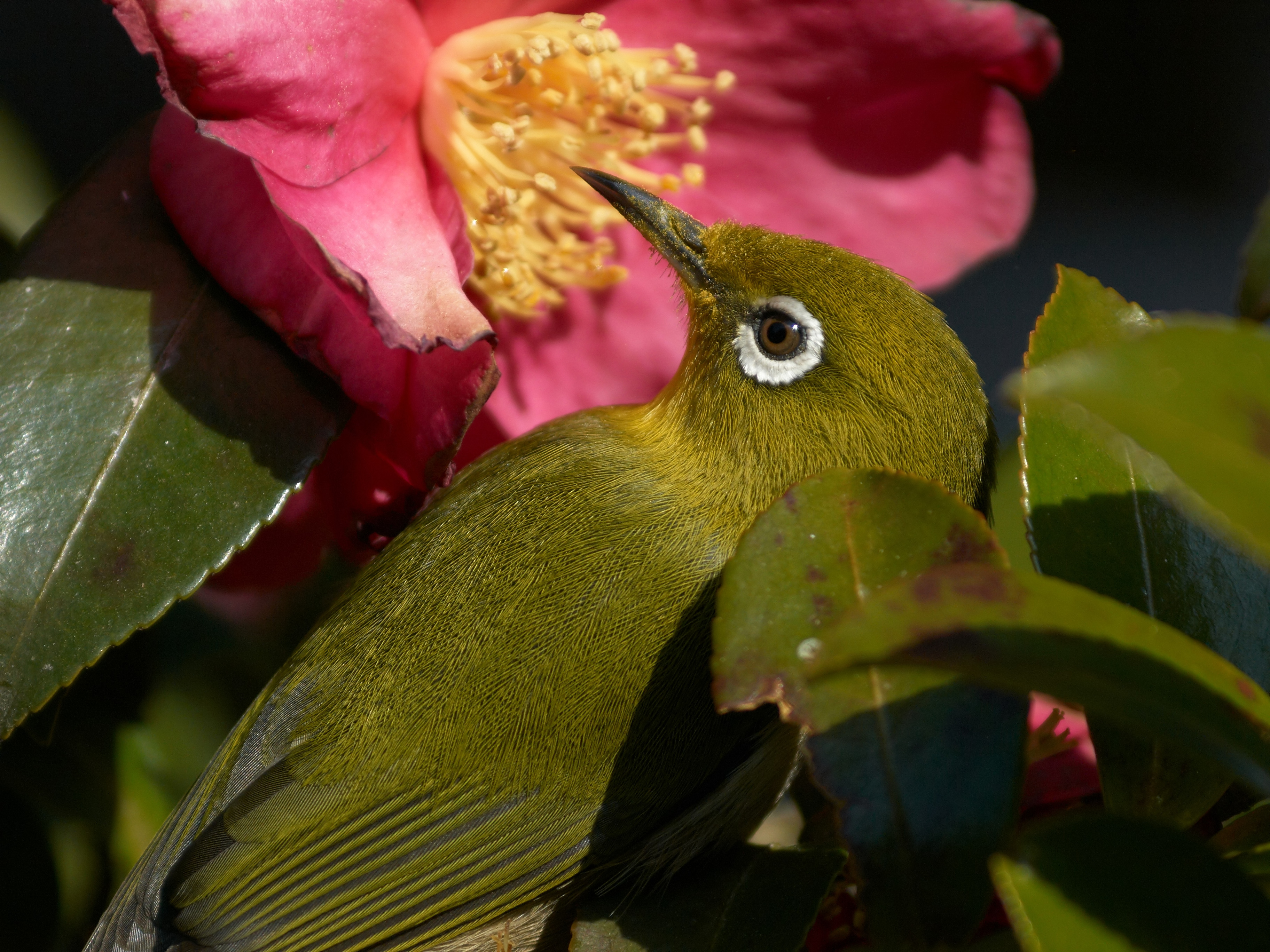 BORG125SDで撮影した野鳥・メジロの写真画像
