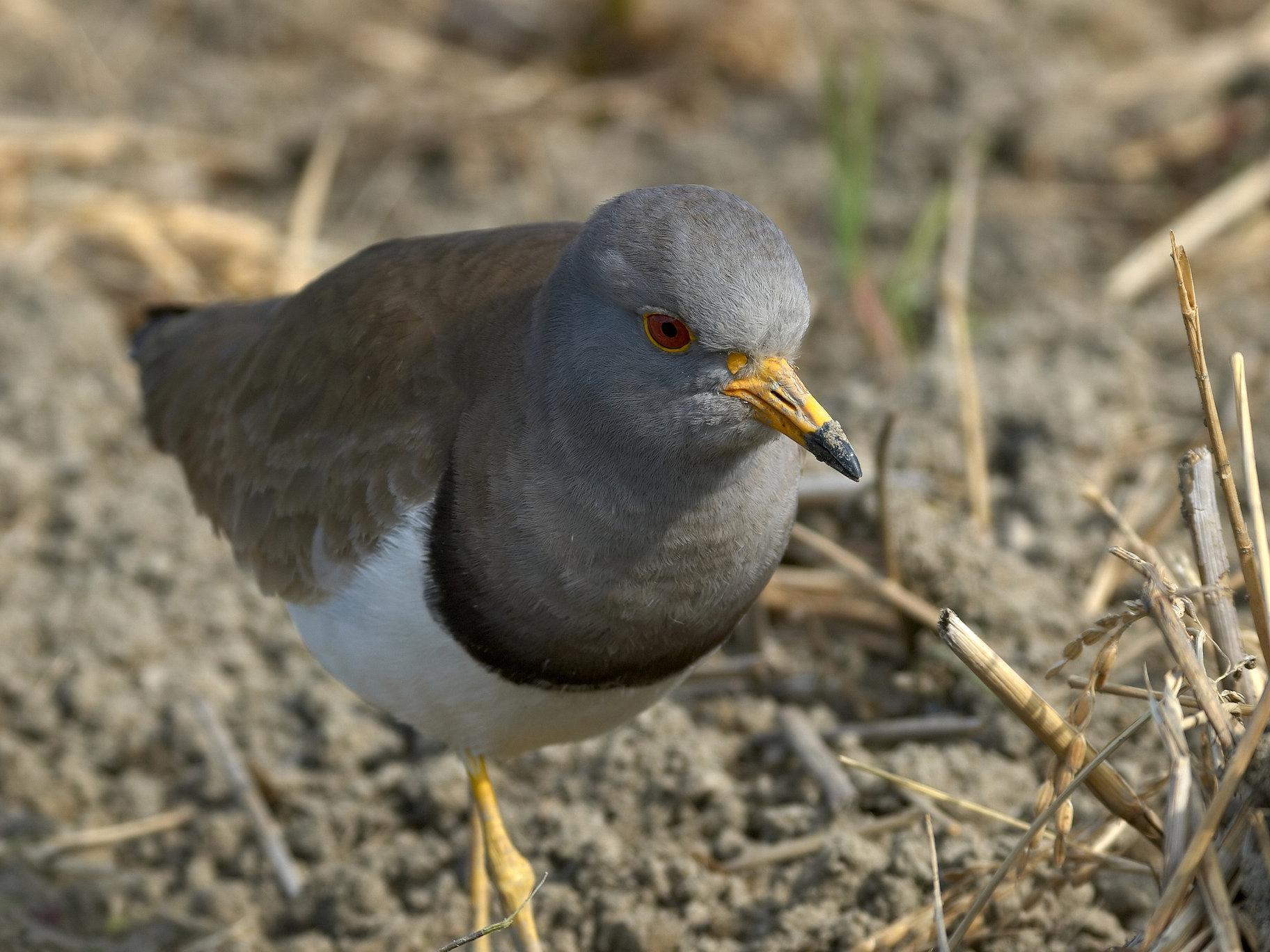 BORG71FLで撮影した野鳥・ケリの写真画像
