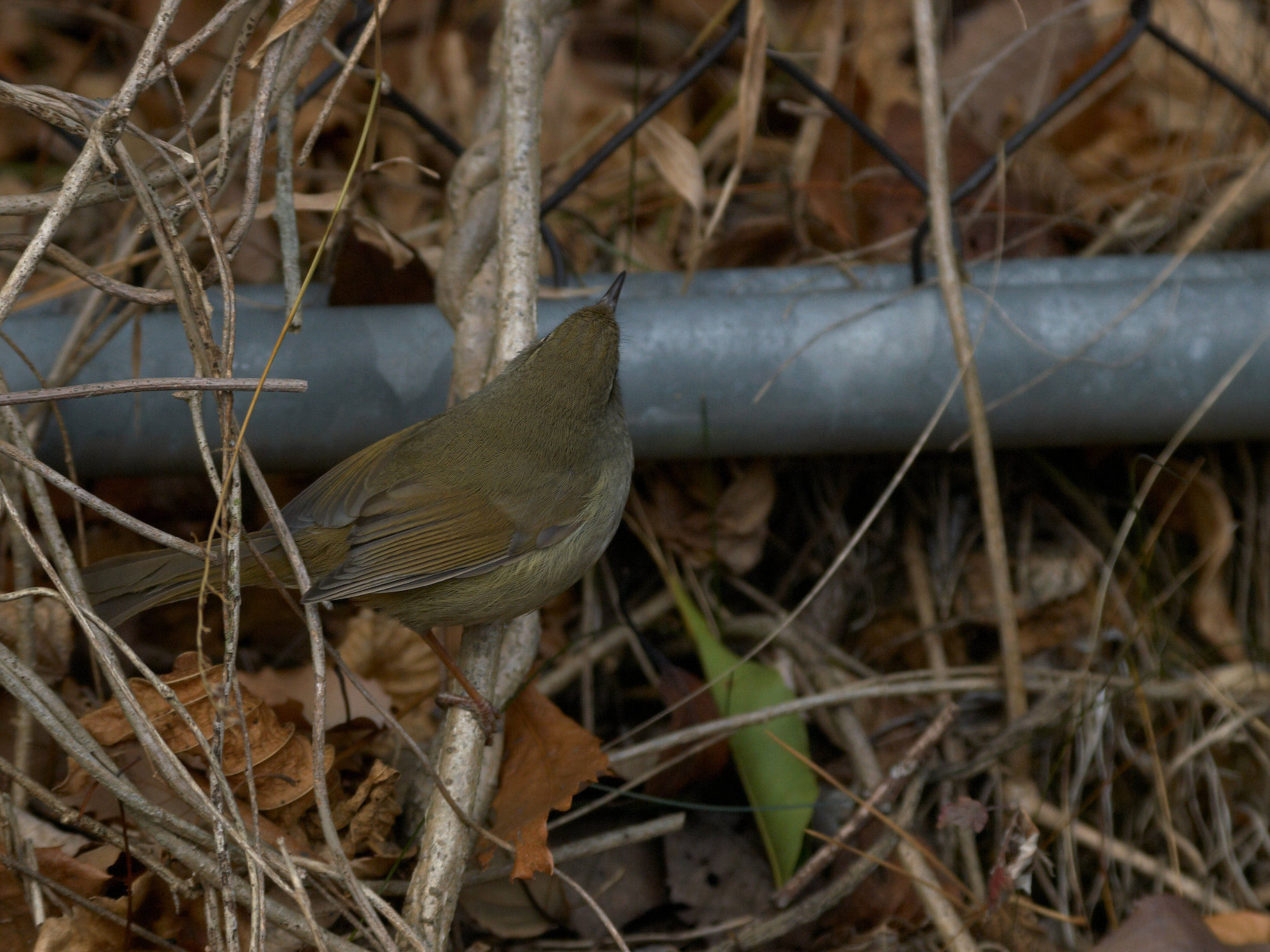 BORG71FLで撮影した野鳥・ウグイスの写真画像